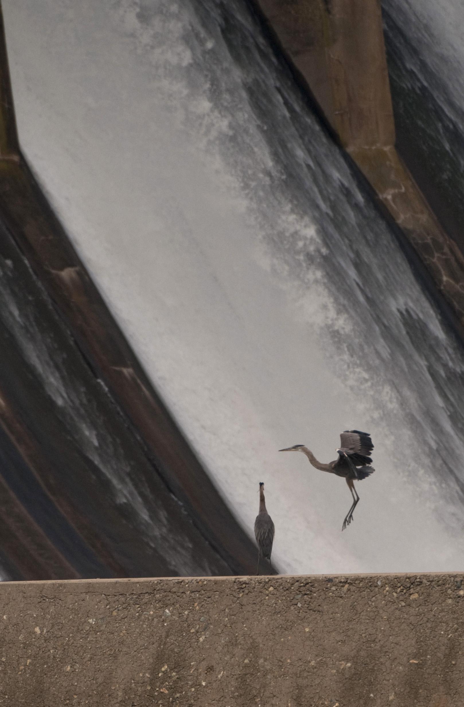 heron lands on Conowingo Dam