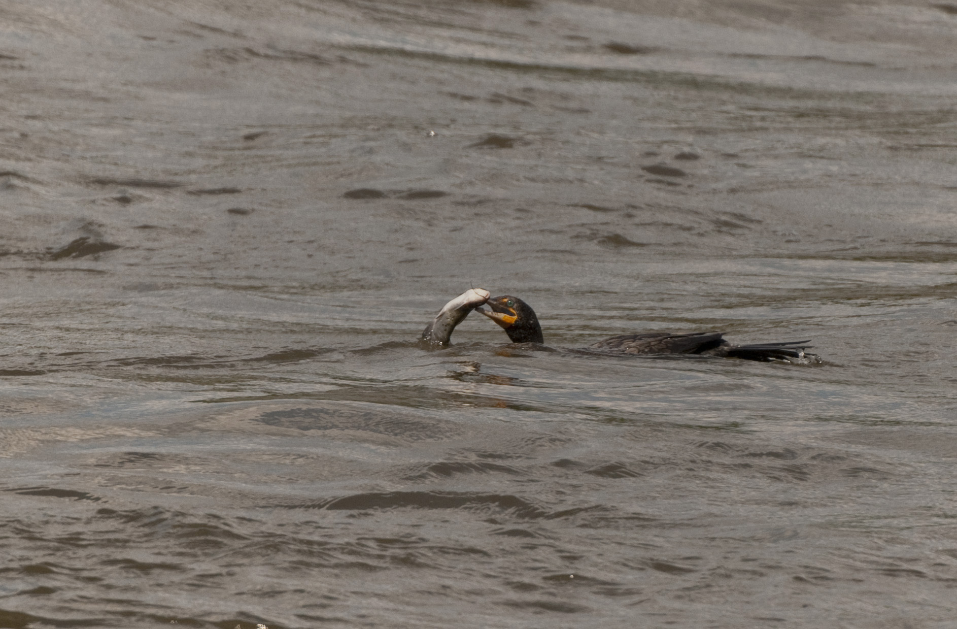 cormorant with meal