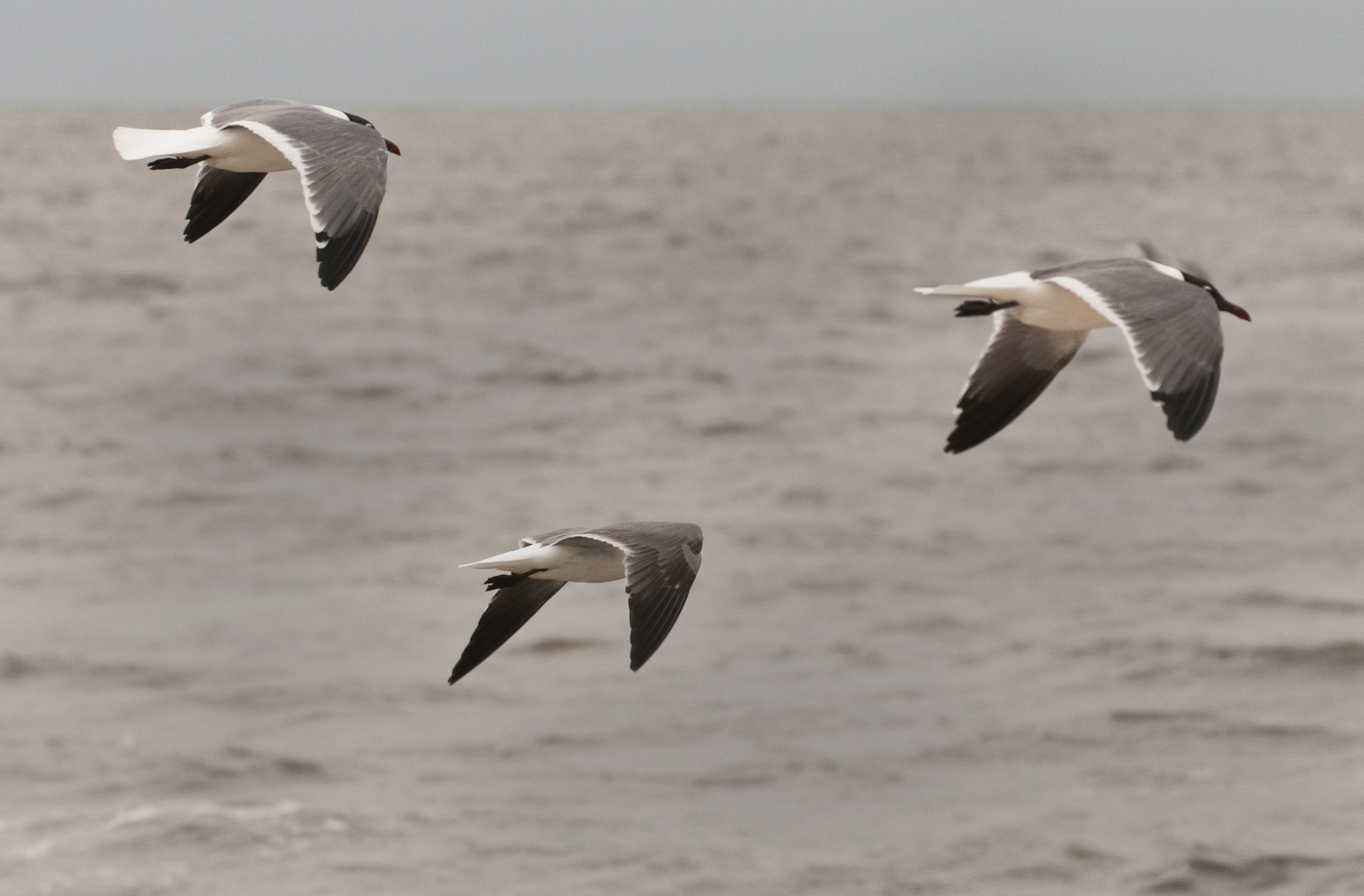 gulls in flight