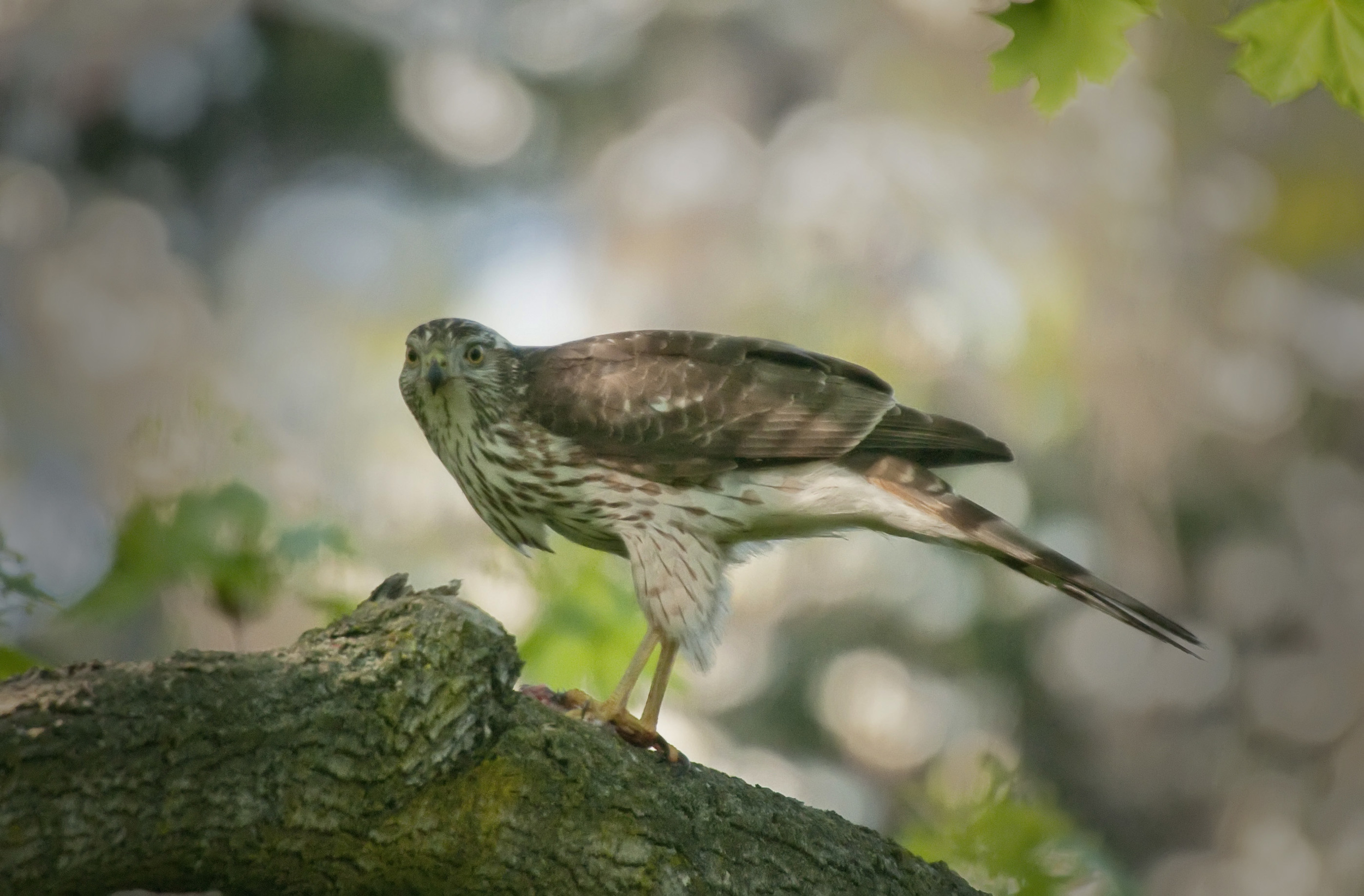 hawk with meal