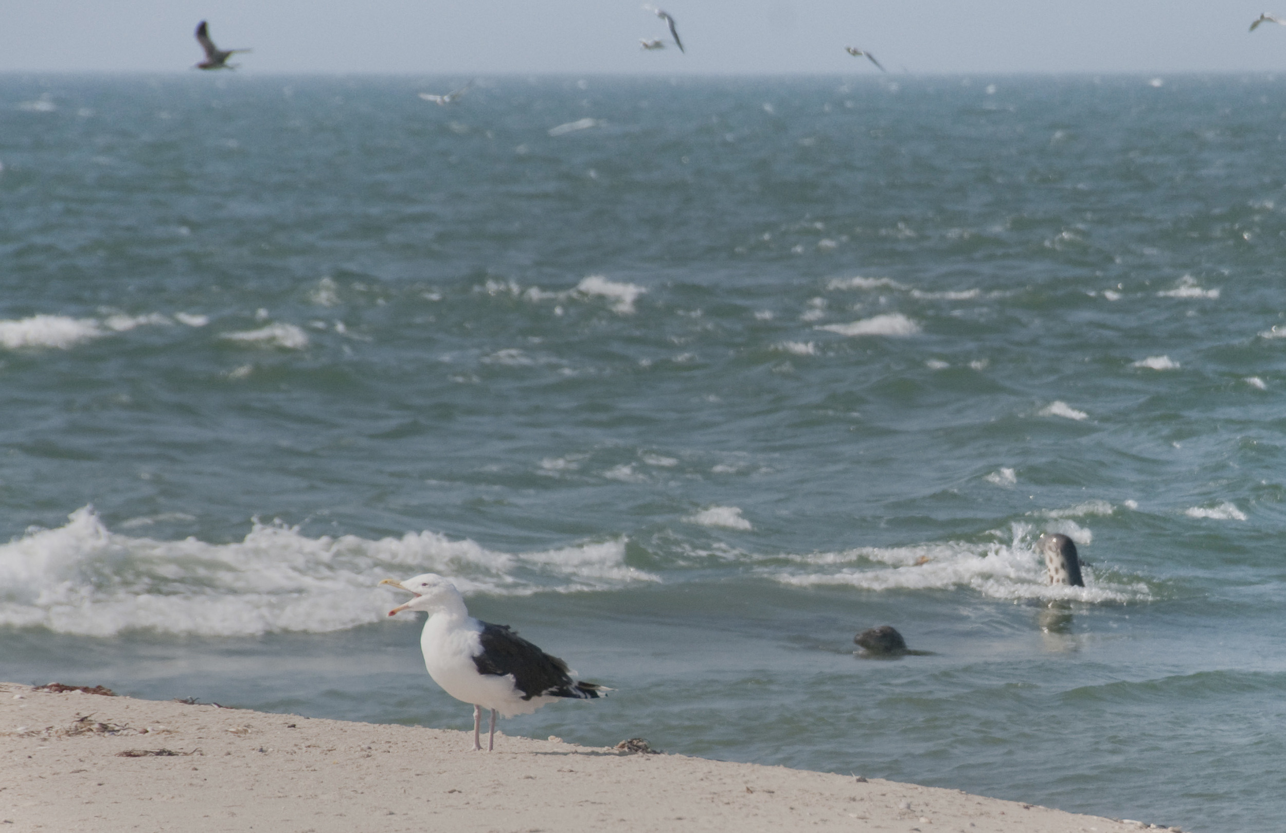 gull and seals