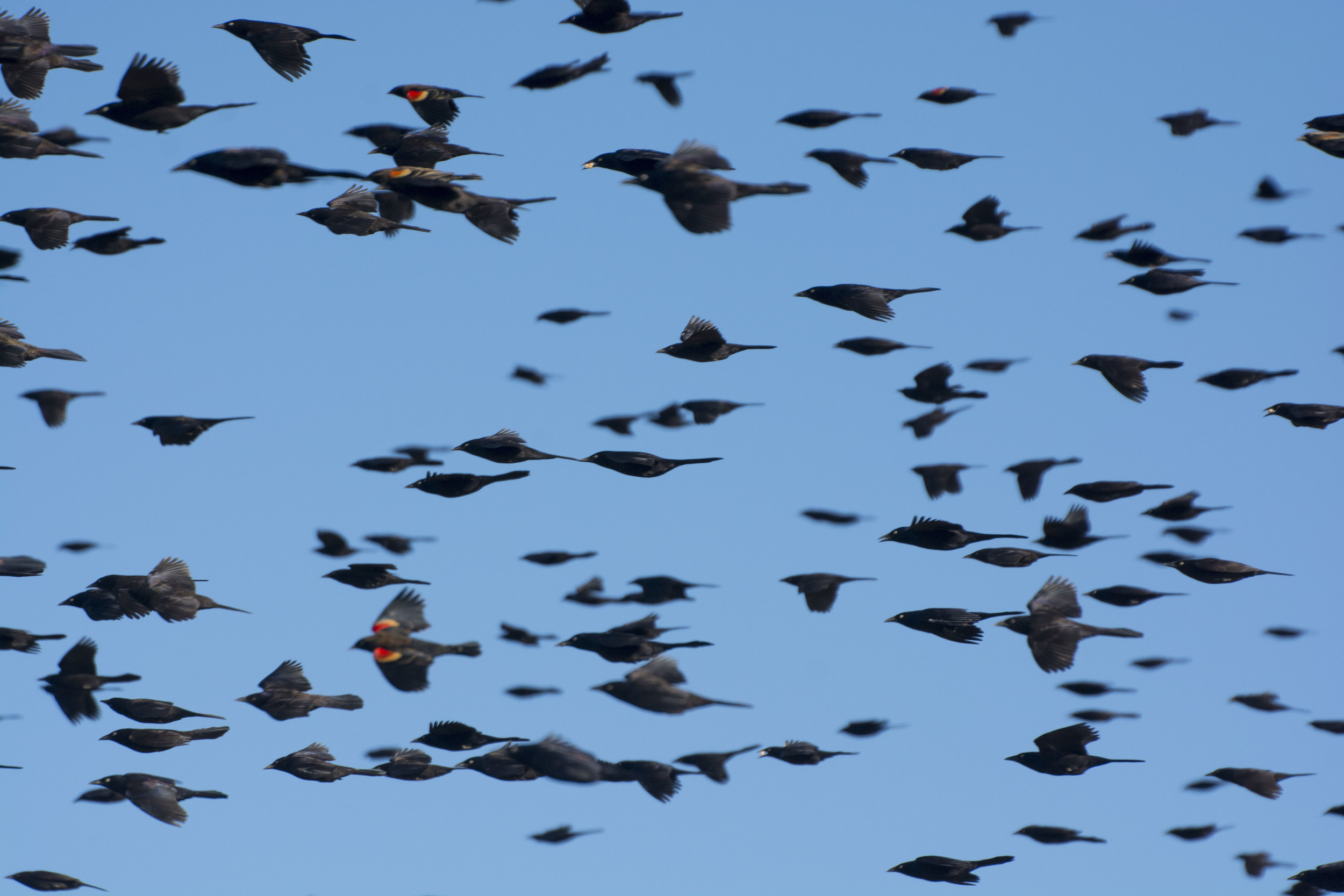 blackbird flock in flight