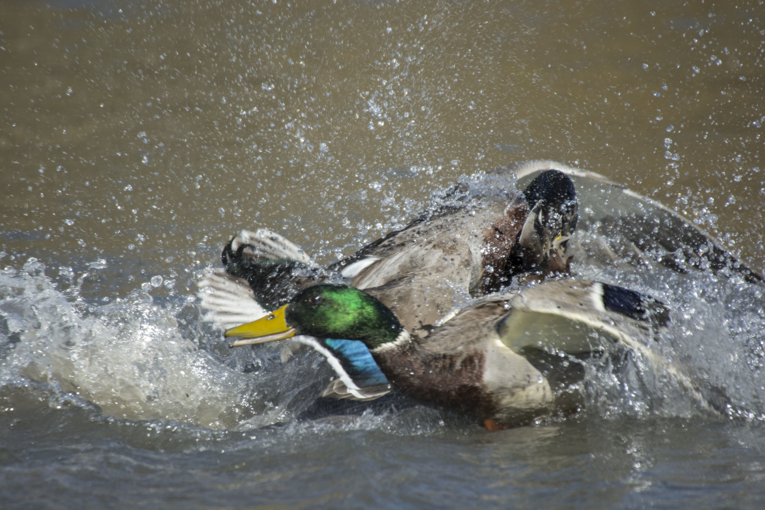 duck fight