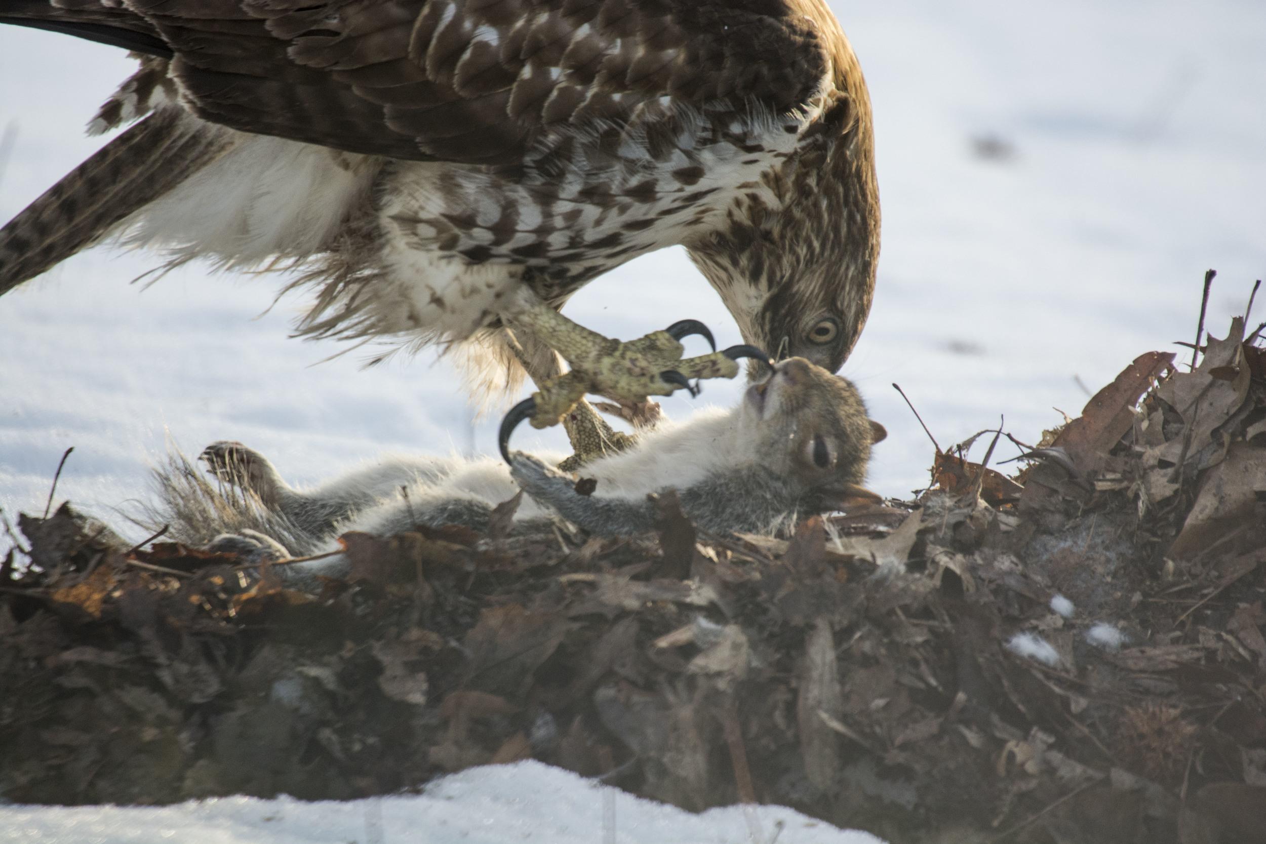 Hawk and prey