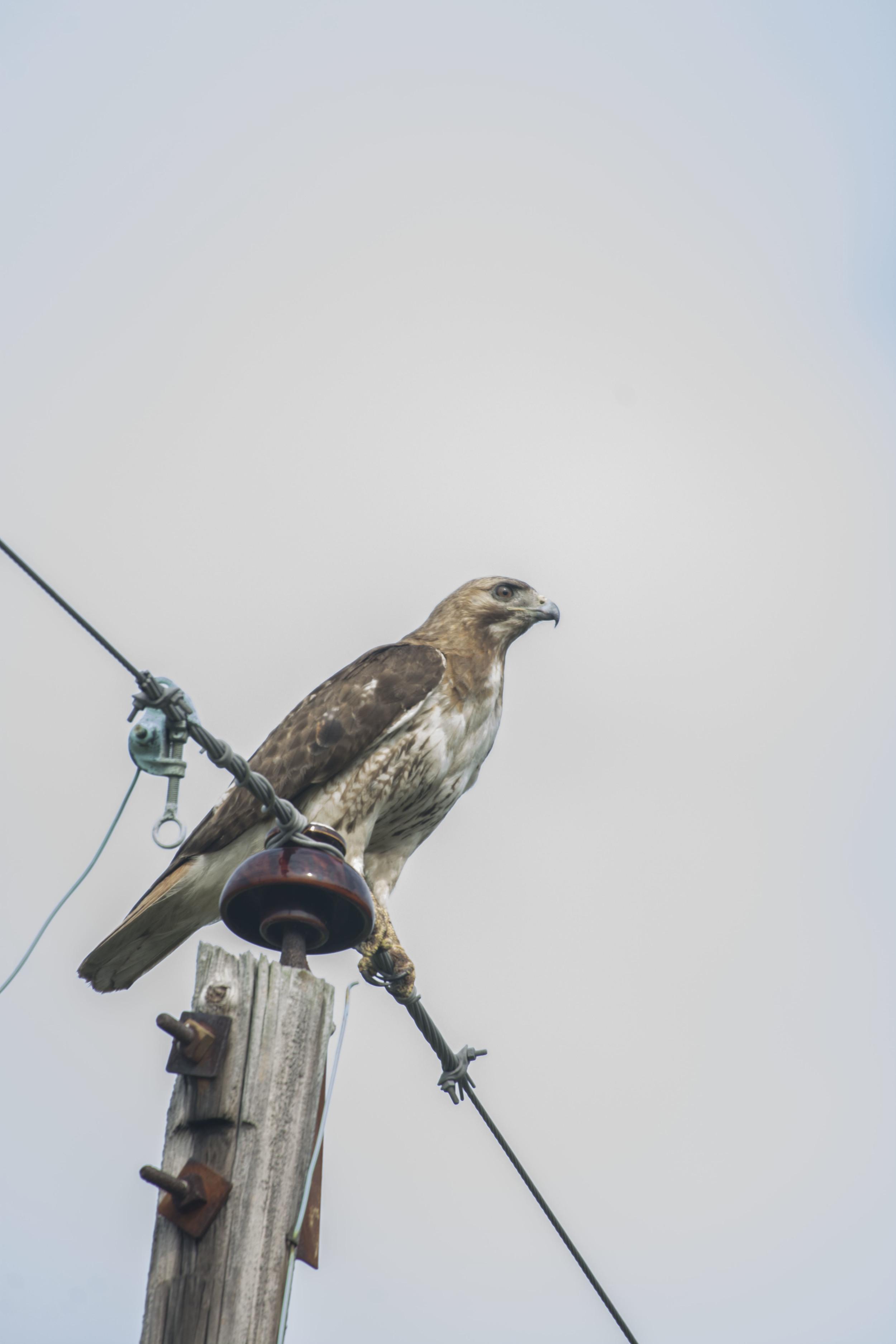 Broadtail Hawk