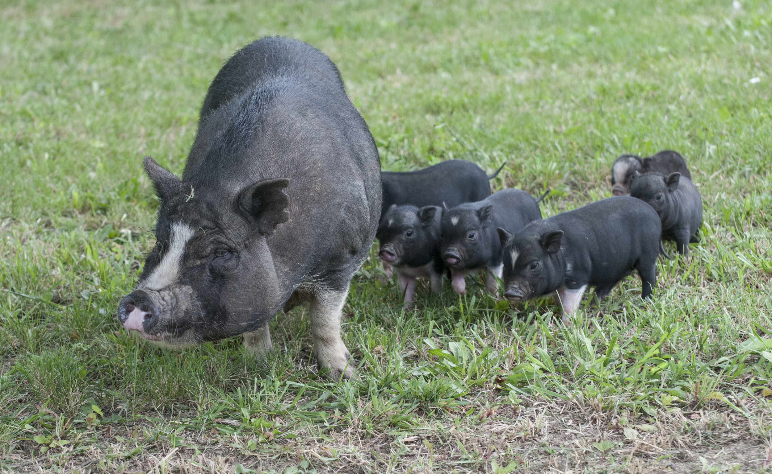 Momma potbelly pig and piglets