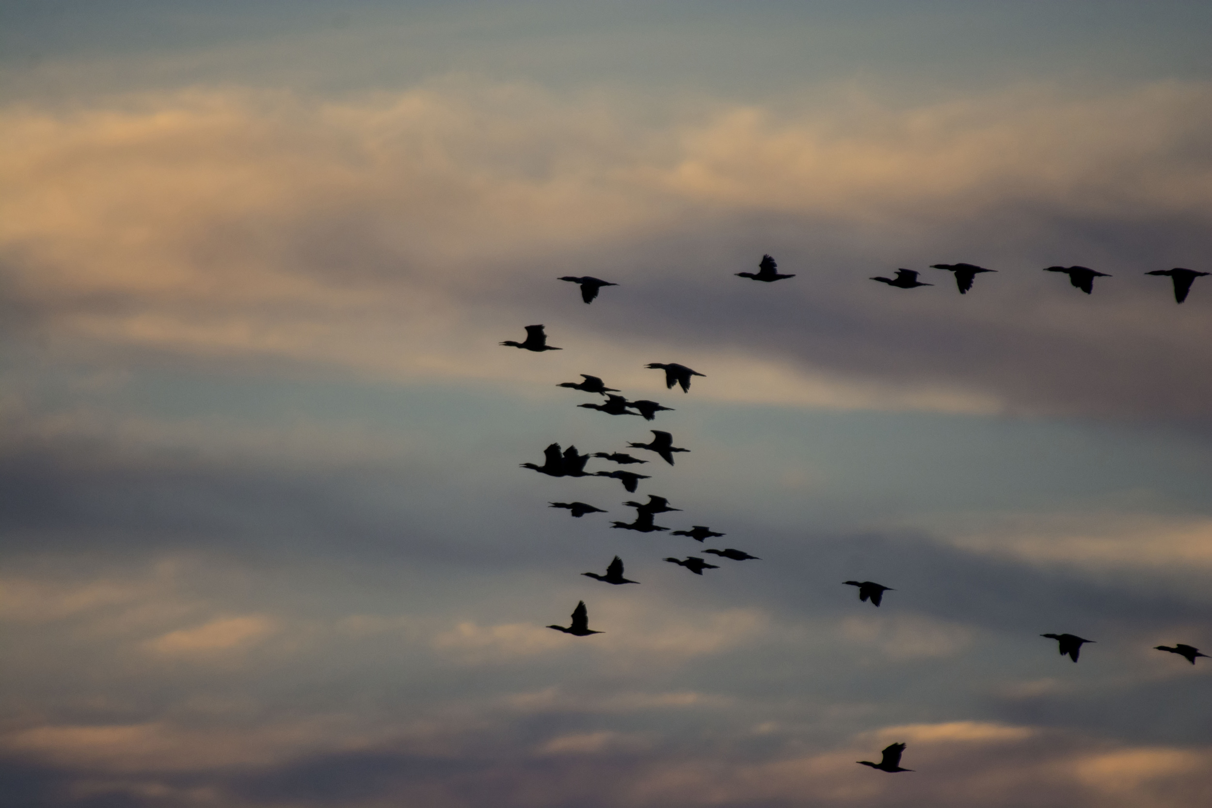 Geese at twilight