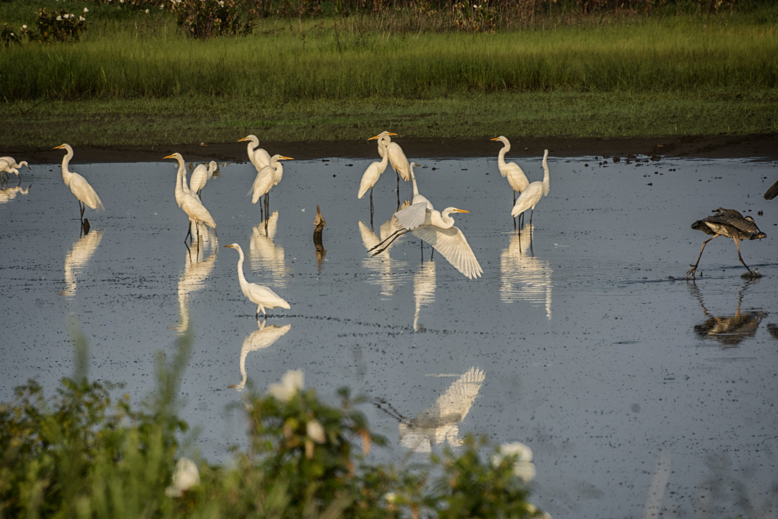 Egrets and Herons at Blackwater NWR