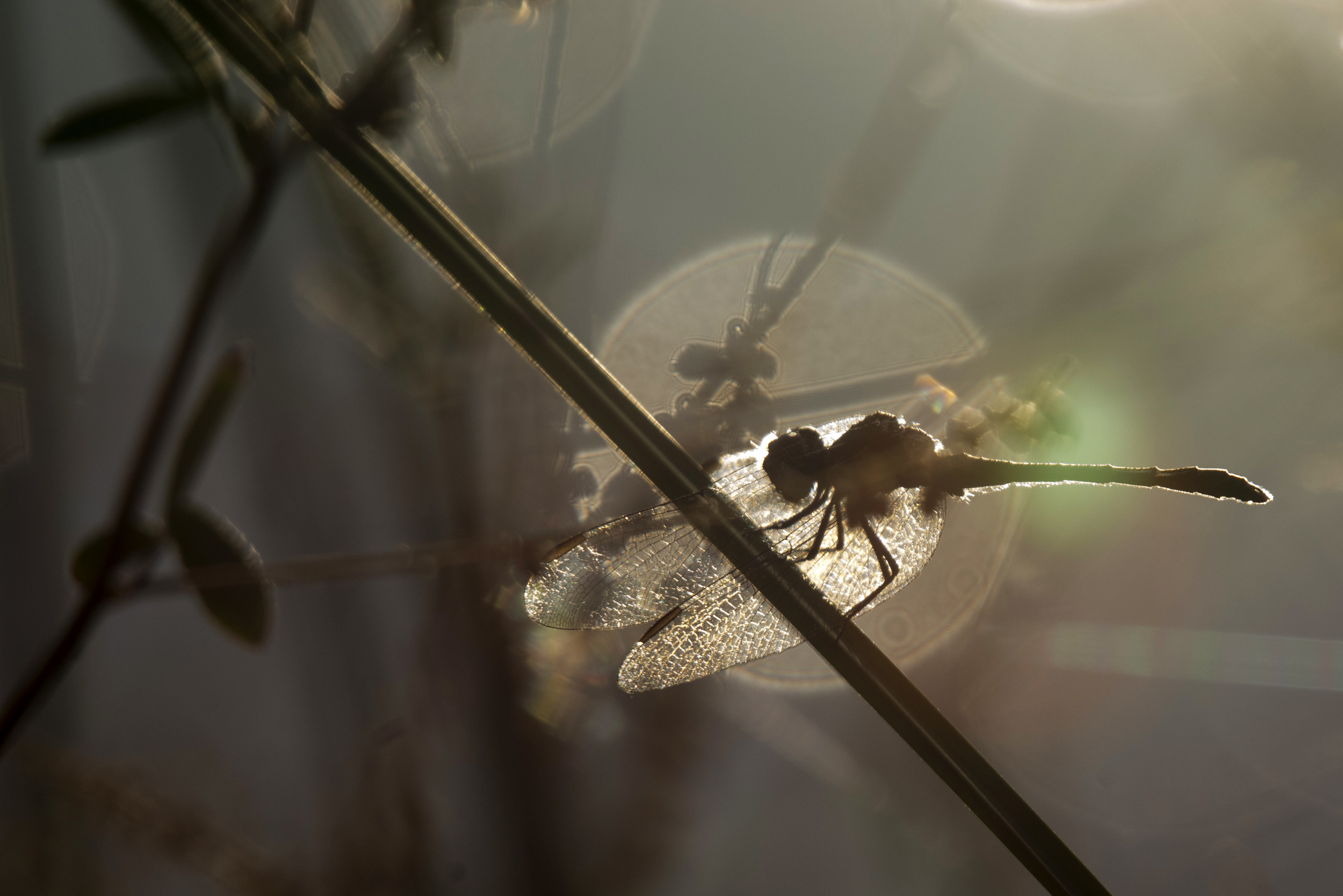 Dragonfly in silhouette at Blackwater NWR