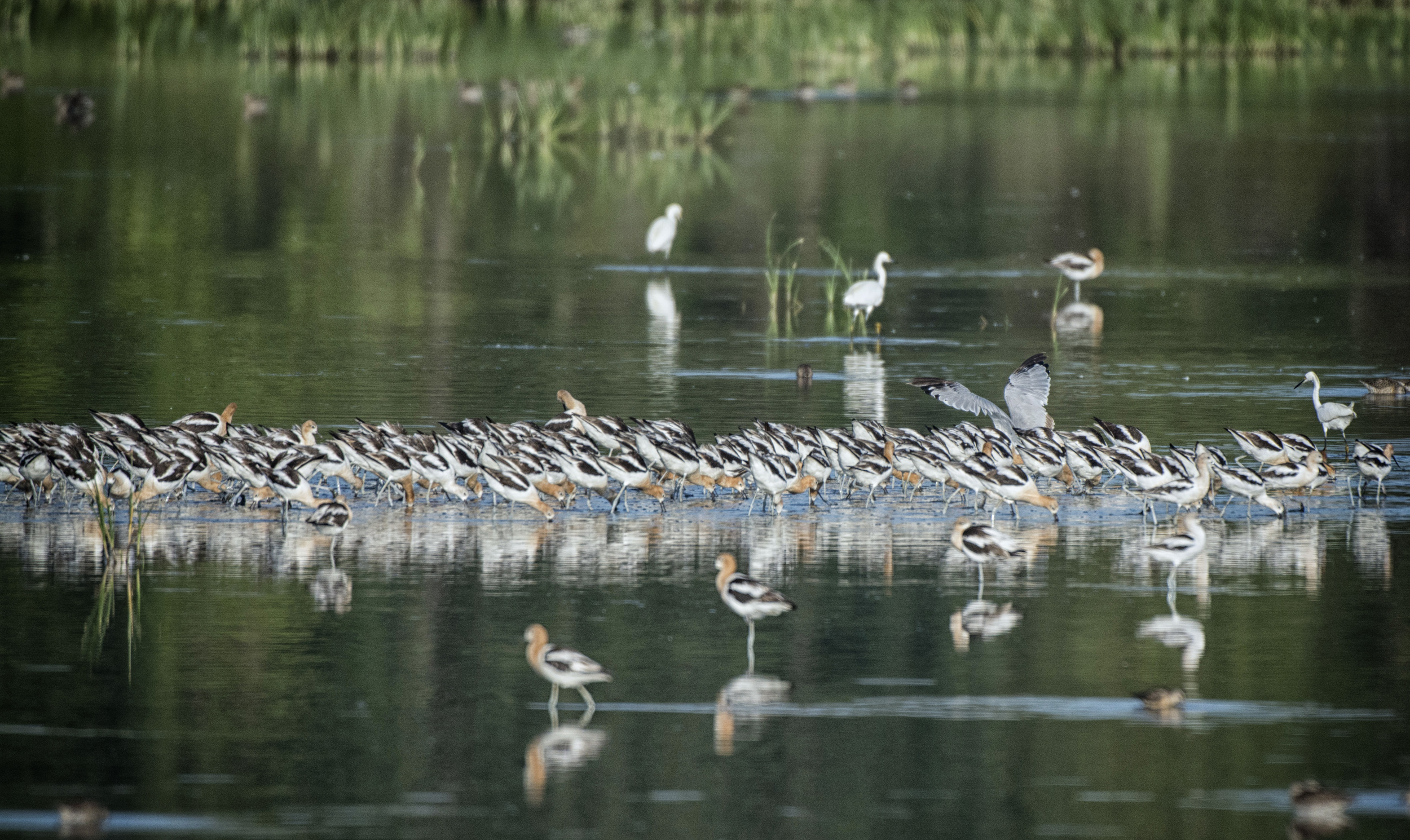 American Avocets at Bombay Hook NWR