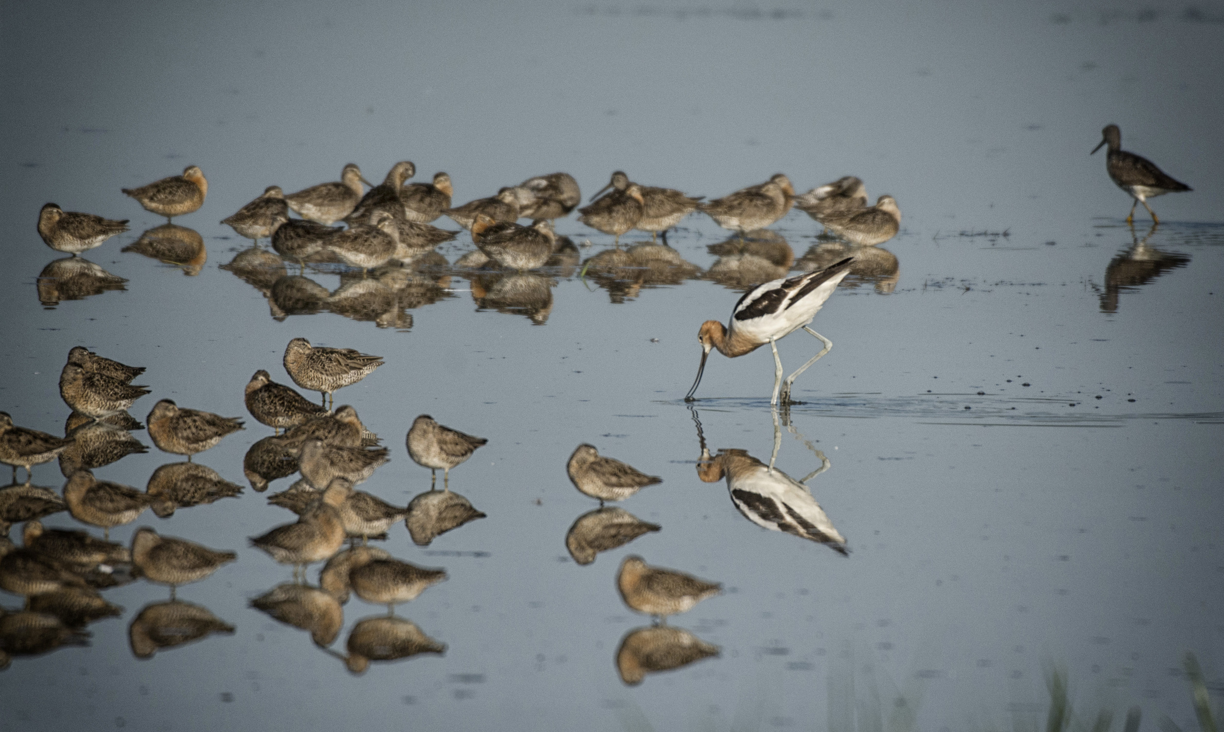 Red Knots and American Avocet at Bombay Hook NWR