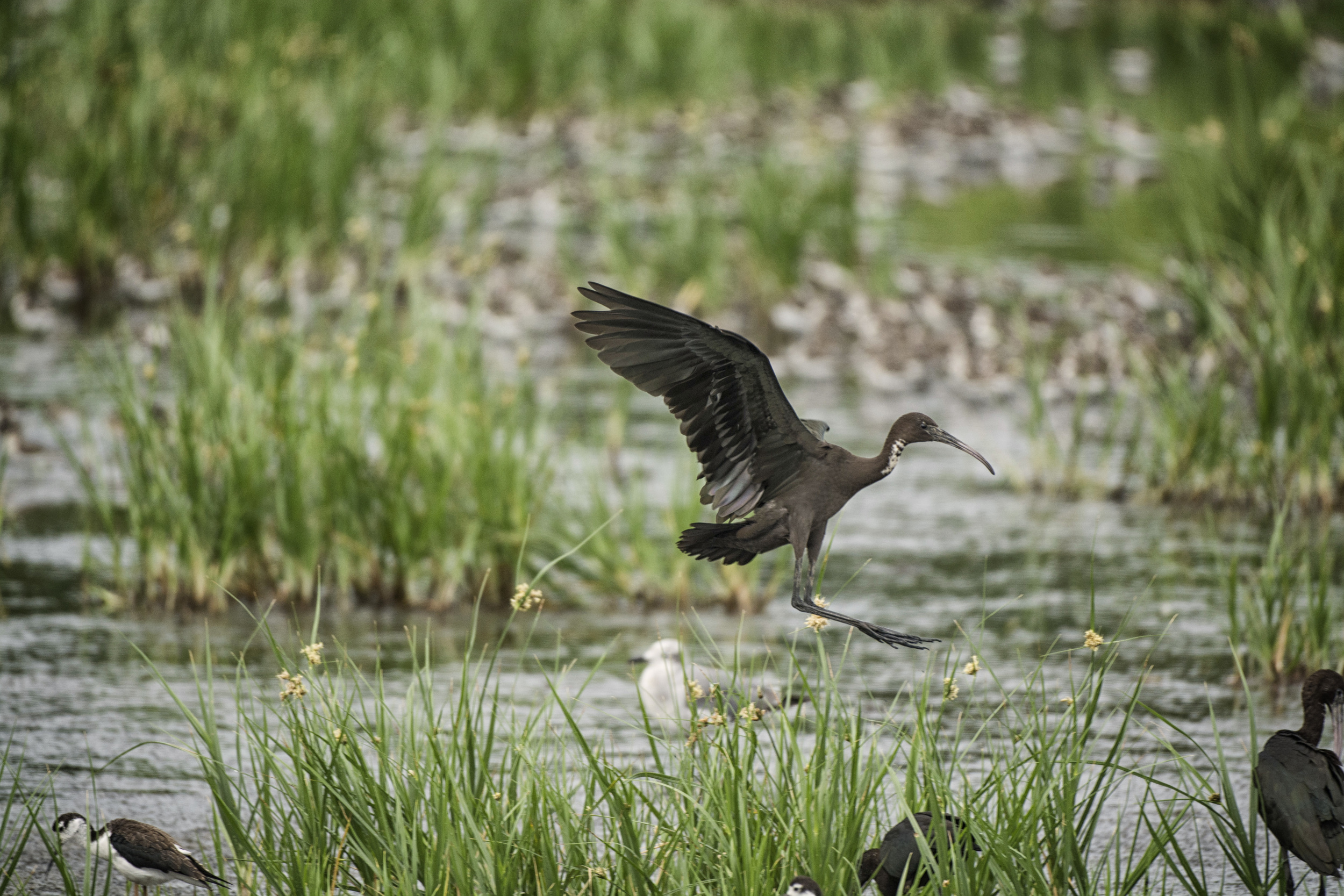 Glossy Ibis landing at Bombay Hook NWR