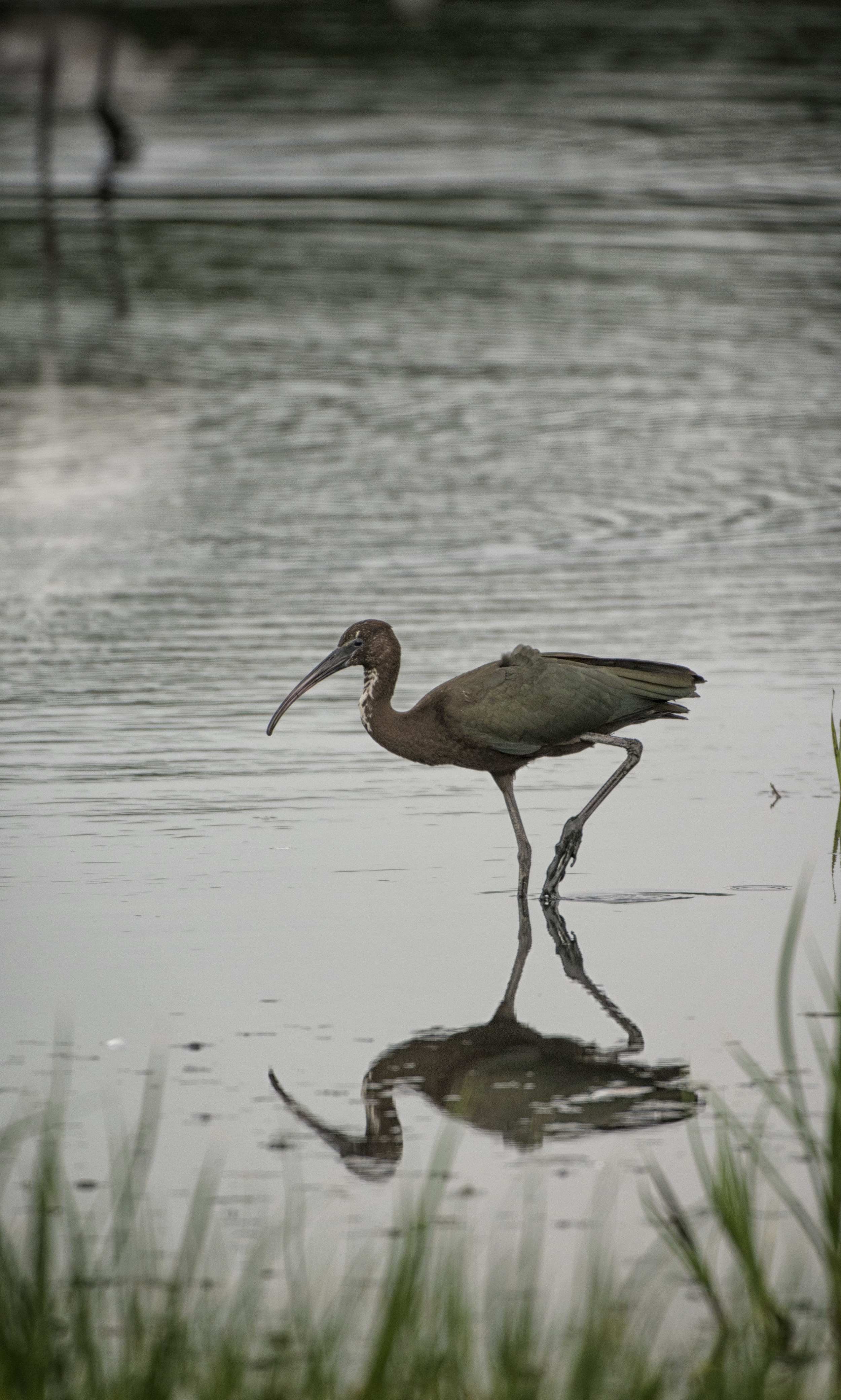 White Ibis at Bombay Hook NWR