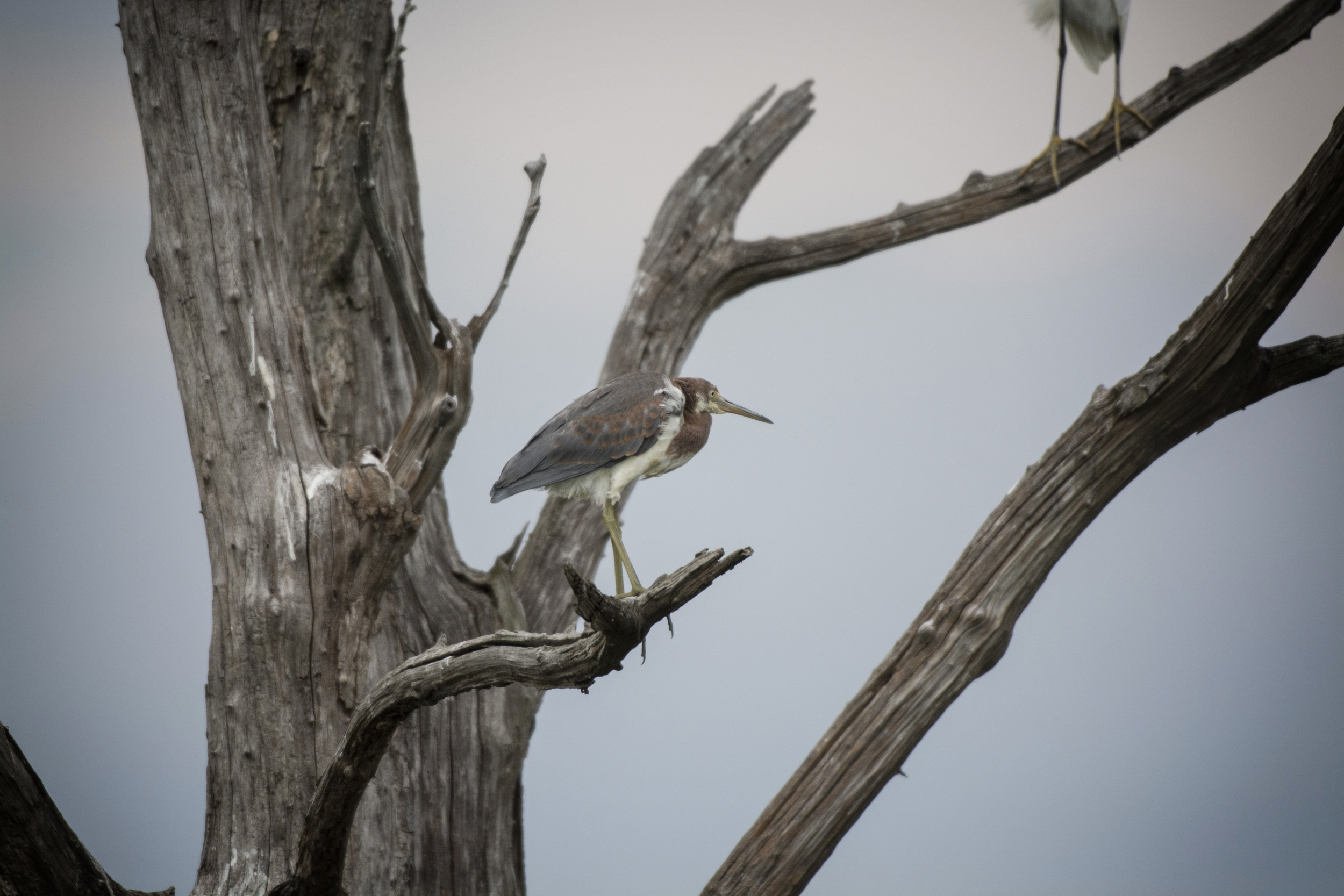 Louisiana Heron at Bombay Hook NWR