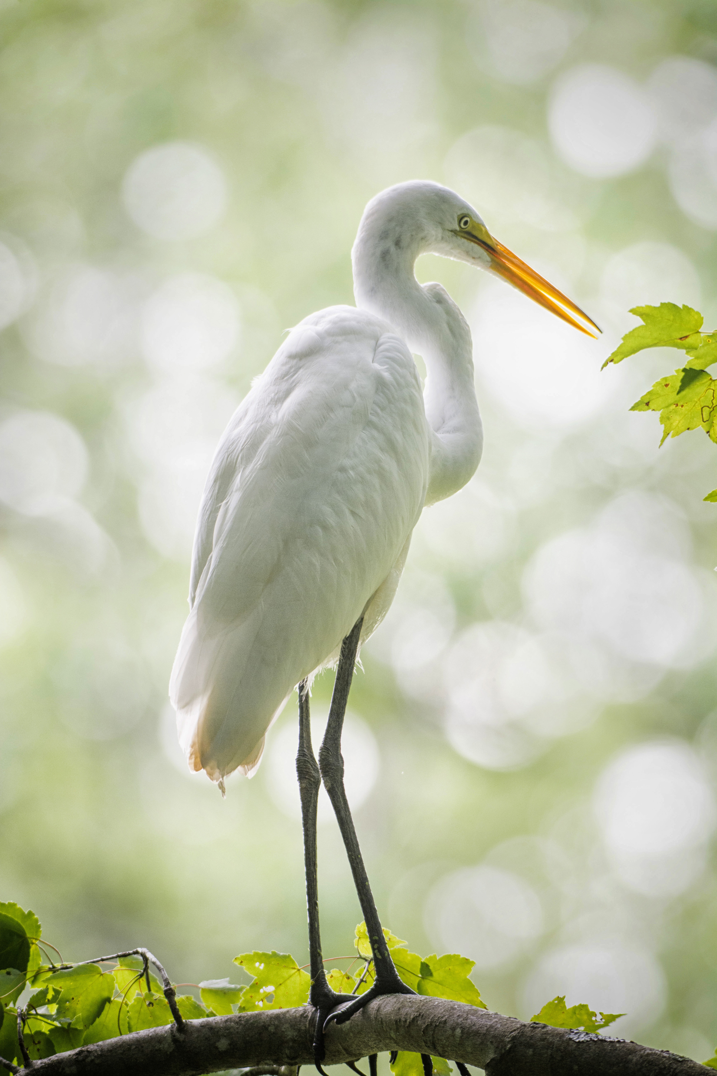Great White Egret at Bombay Hook NWR