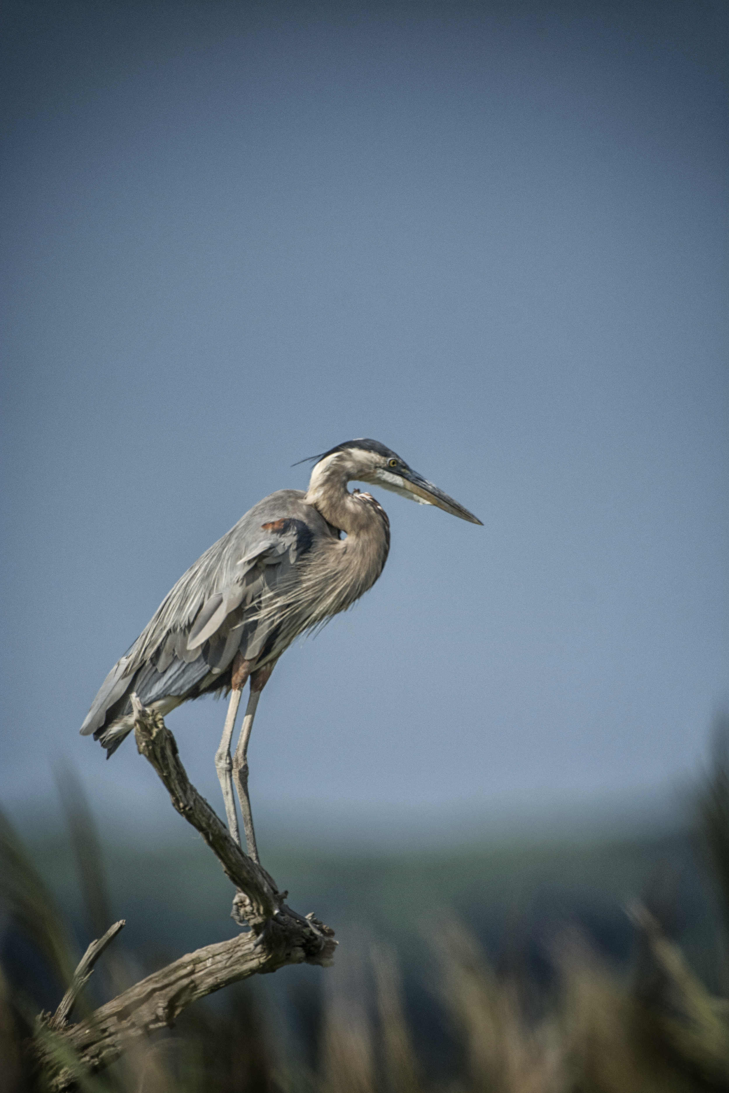 Great Blue Heron at Bombay Hook NWR