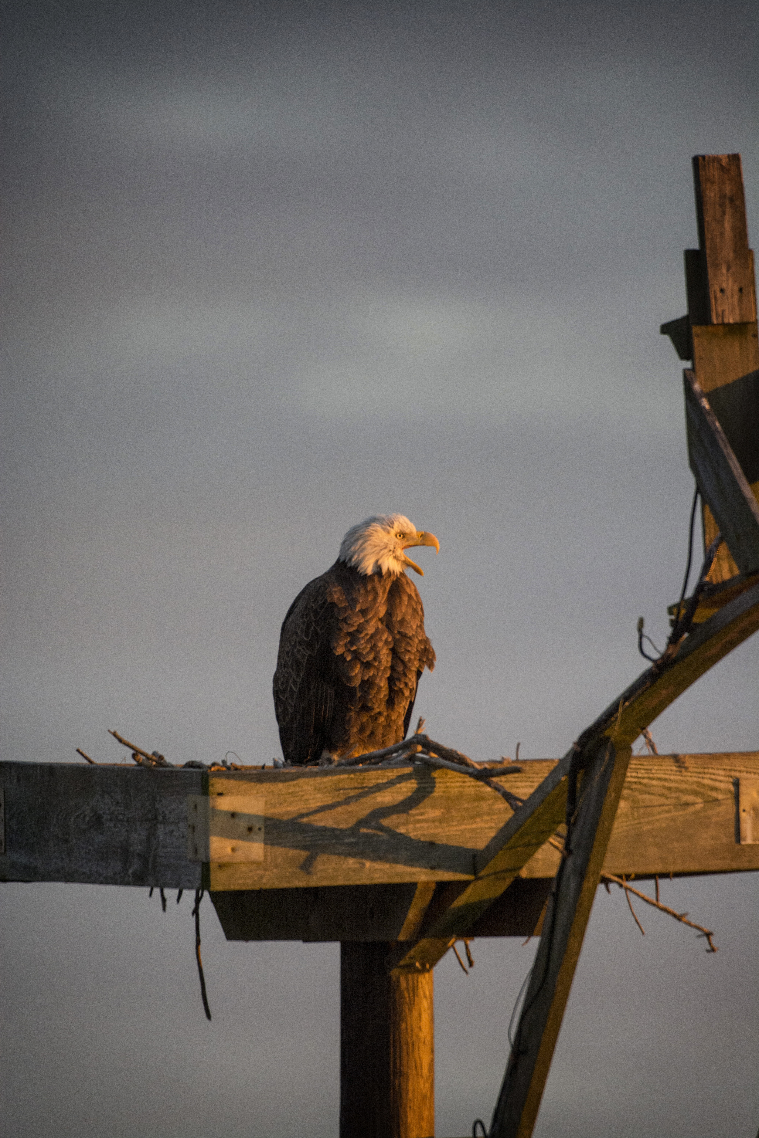 Bald Eagle at dawn