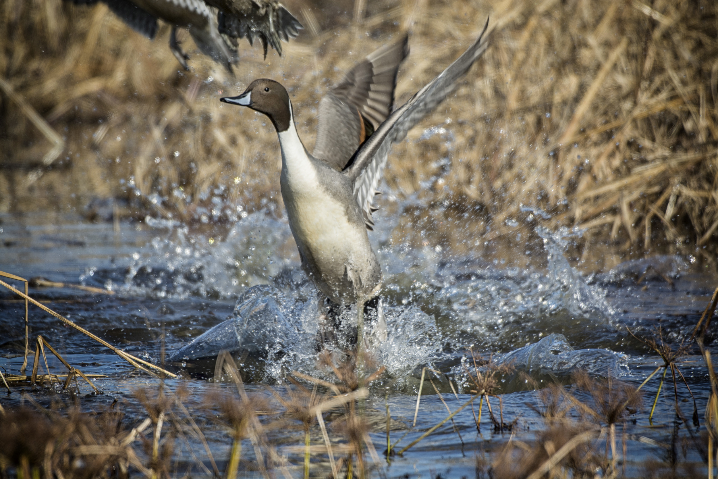 Pintail duck taking off