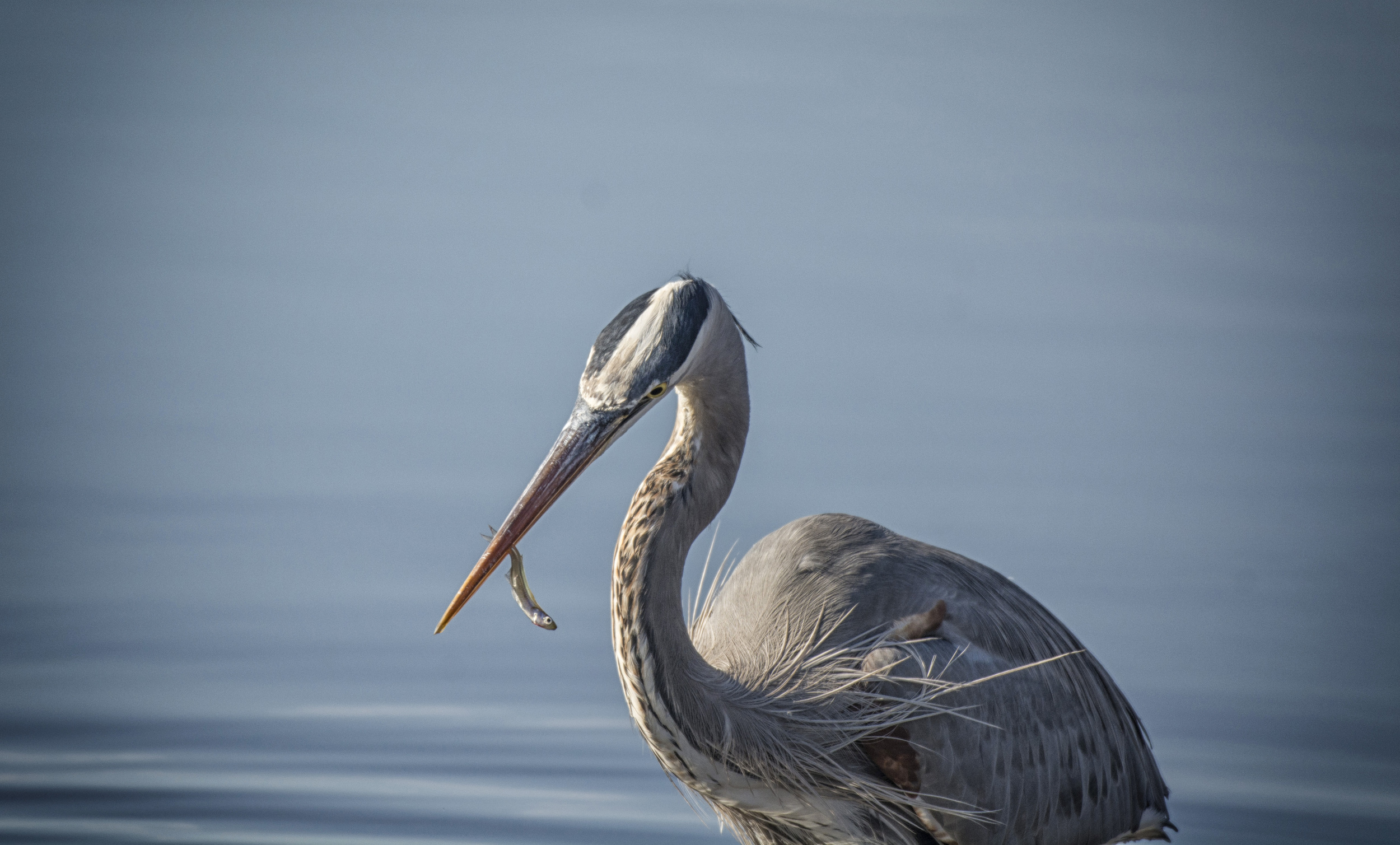 Great Blue Heron feeding