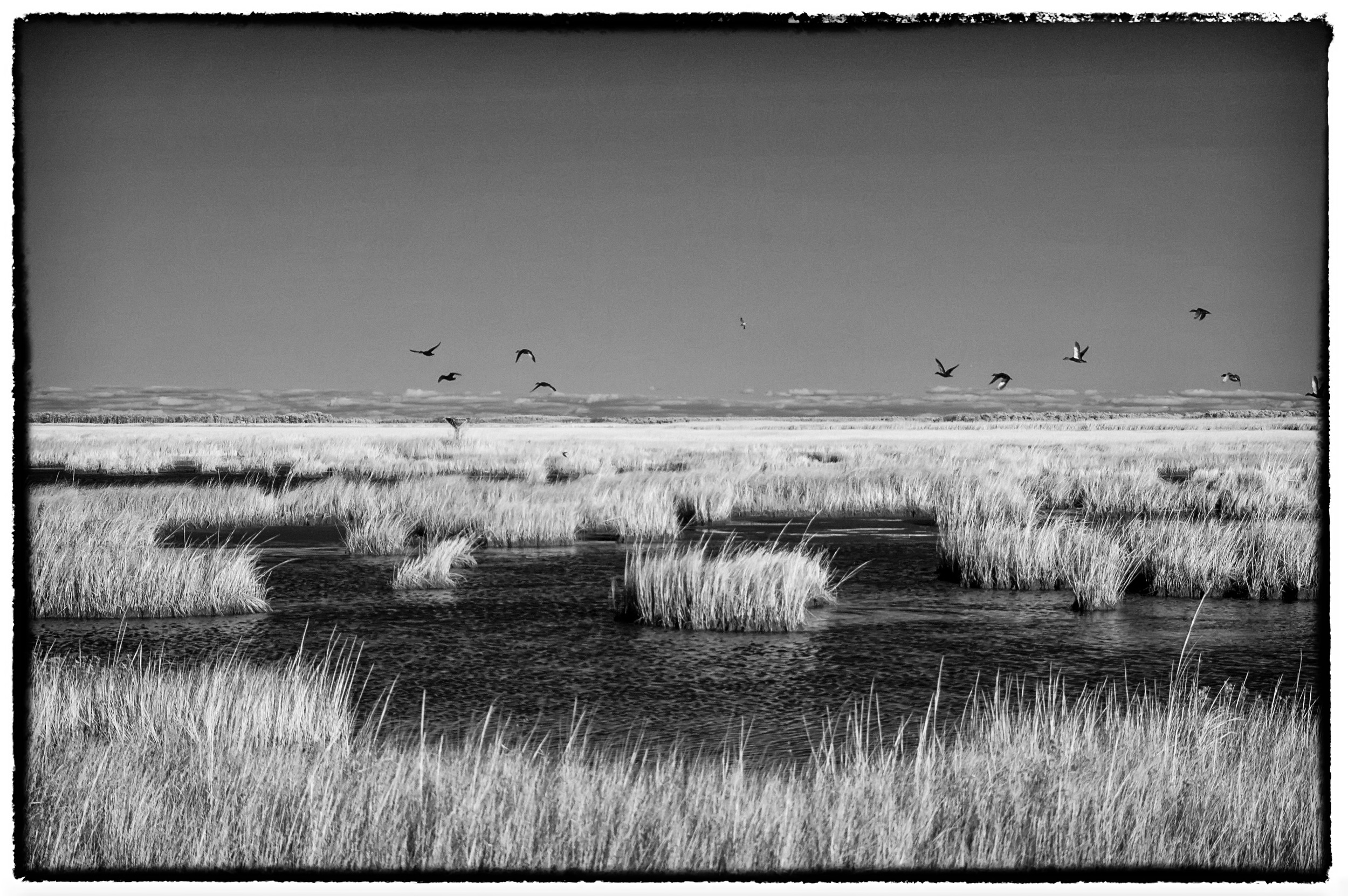 Infrared of geese near Blackwater NWR