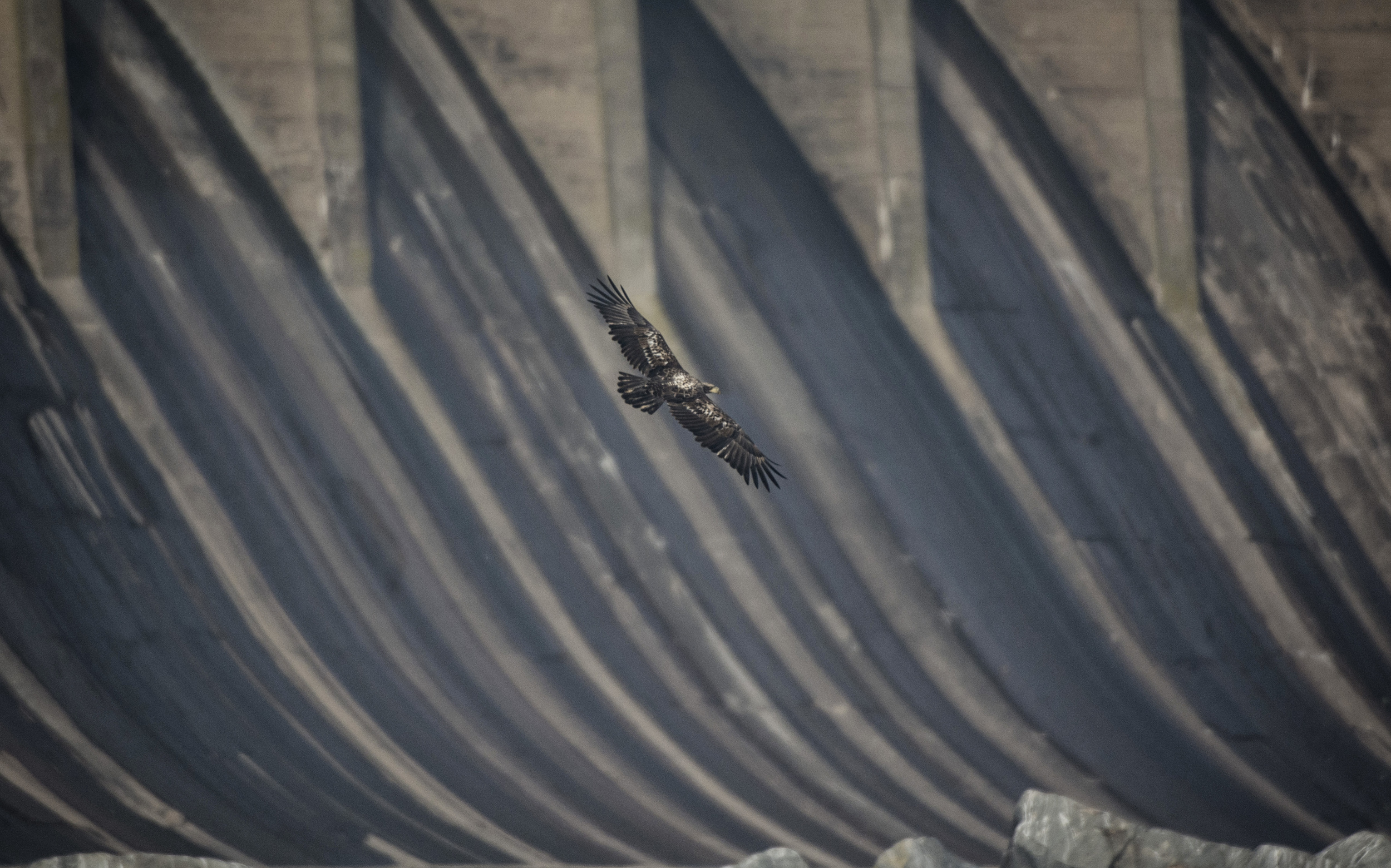 Juvie bald eagle flies in front of Conowingo Dam, Md.
