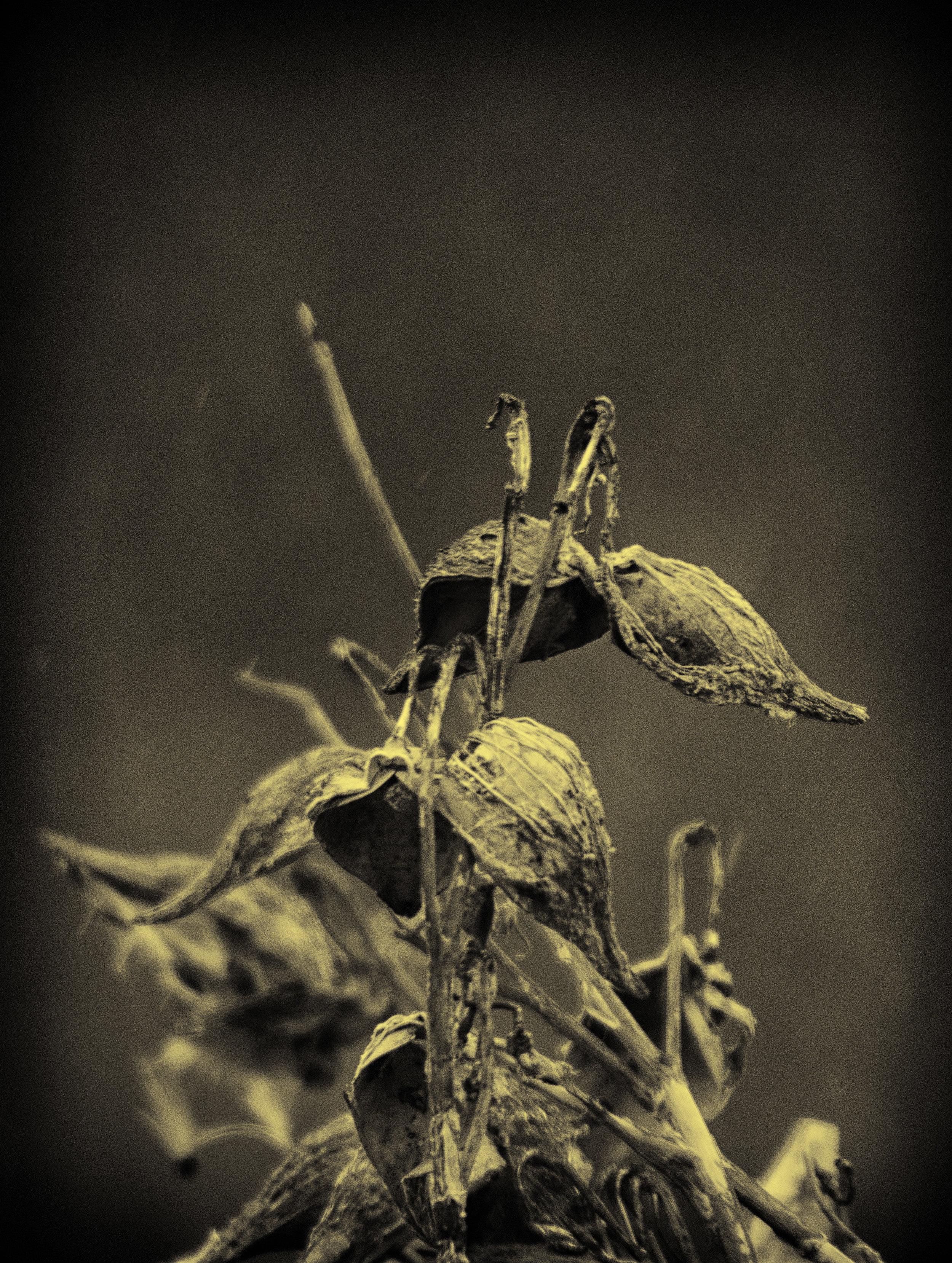 Infrared Milkweed