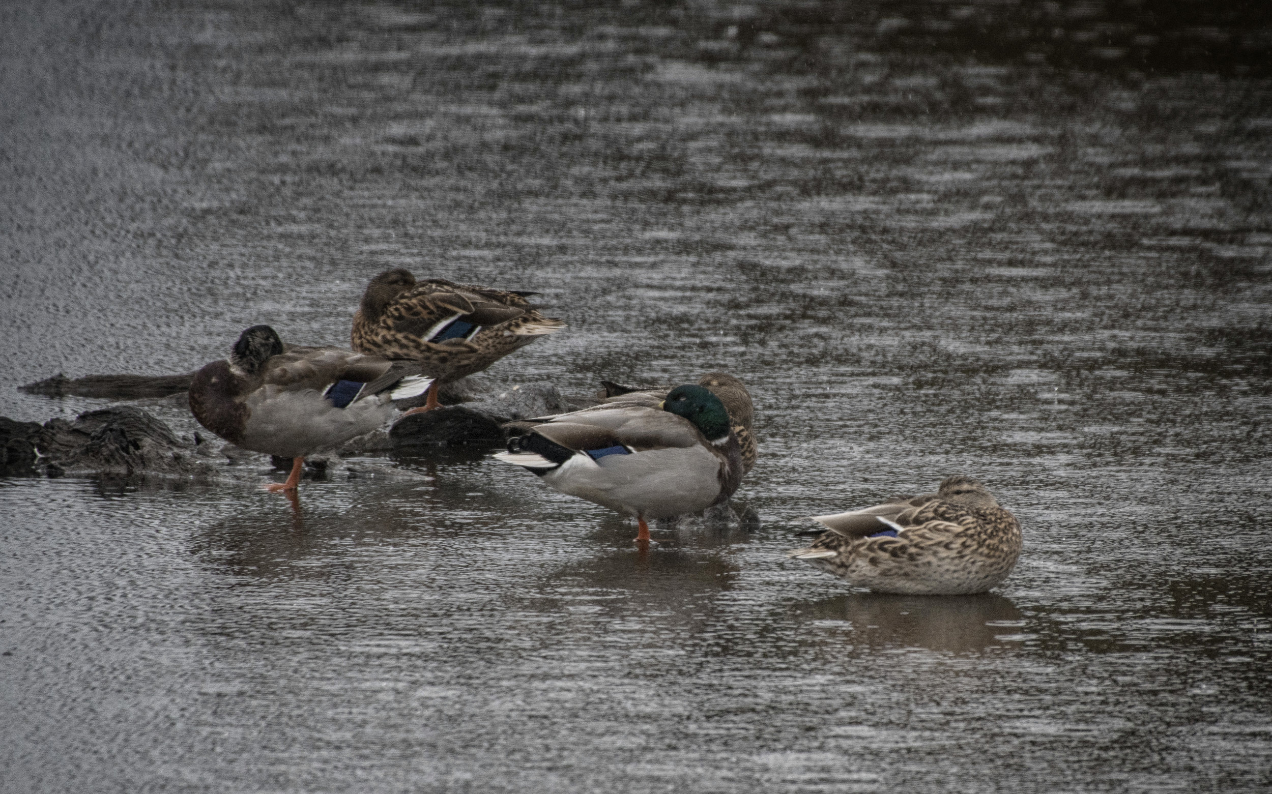 Rainy Day Ducks