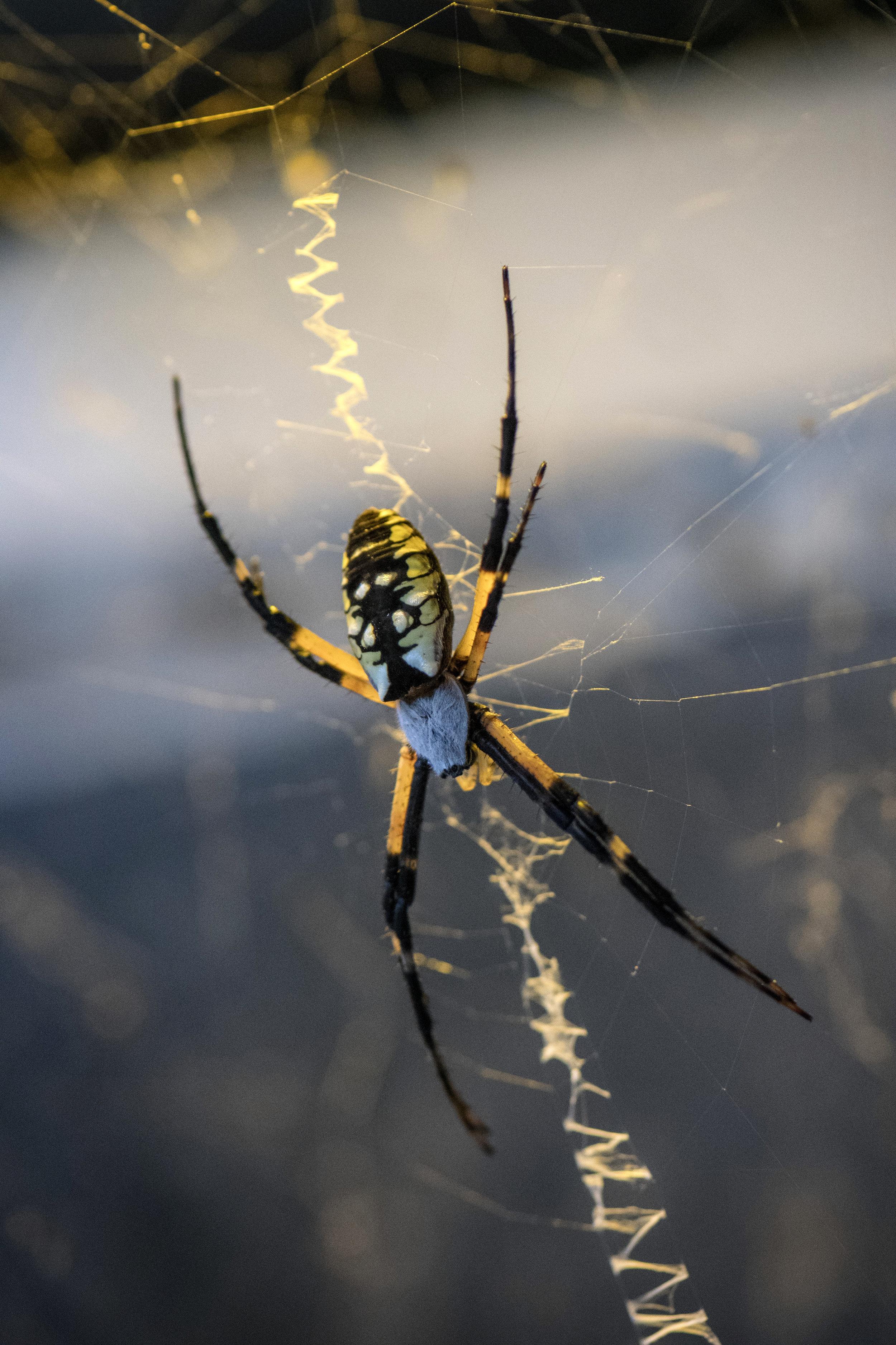 Argiope Arantia Spider