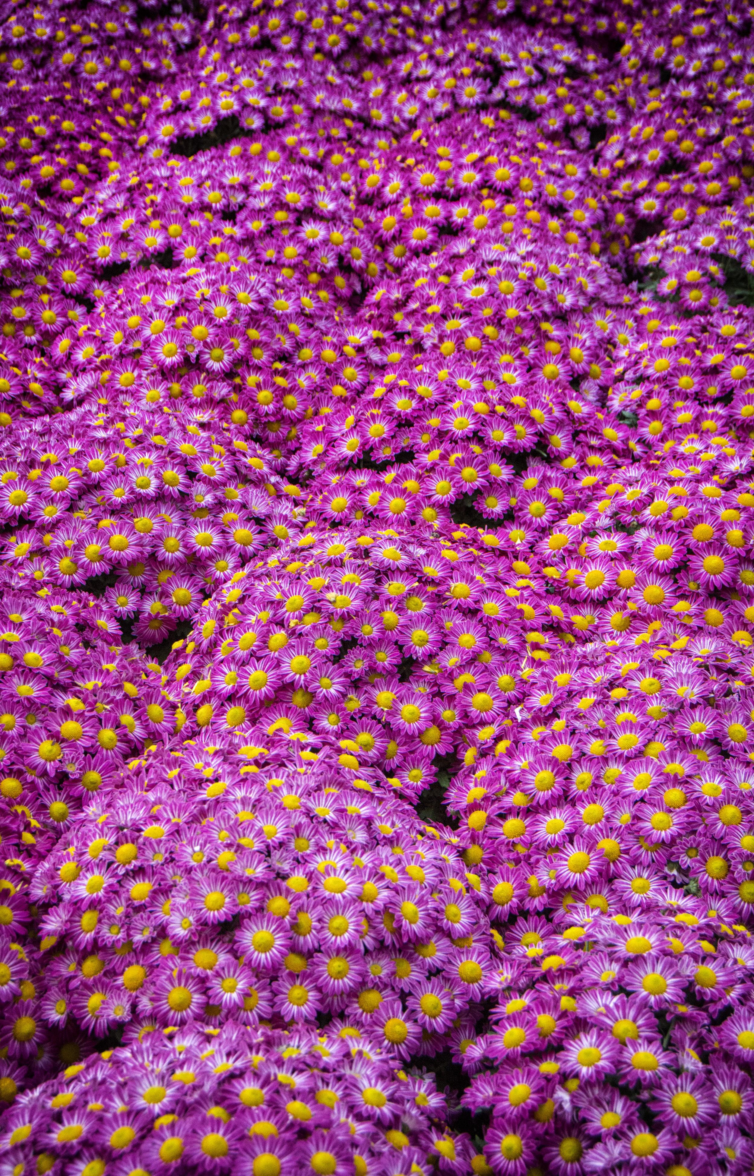 Longwood Chrysanthemum Festival