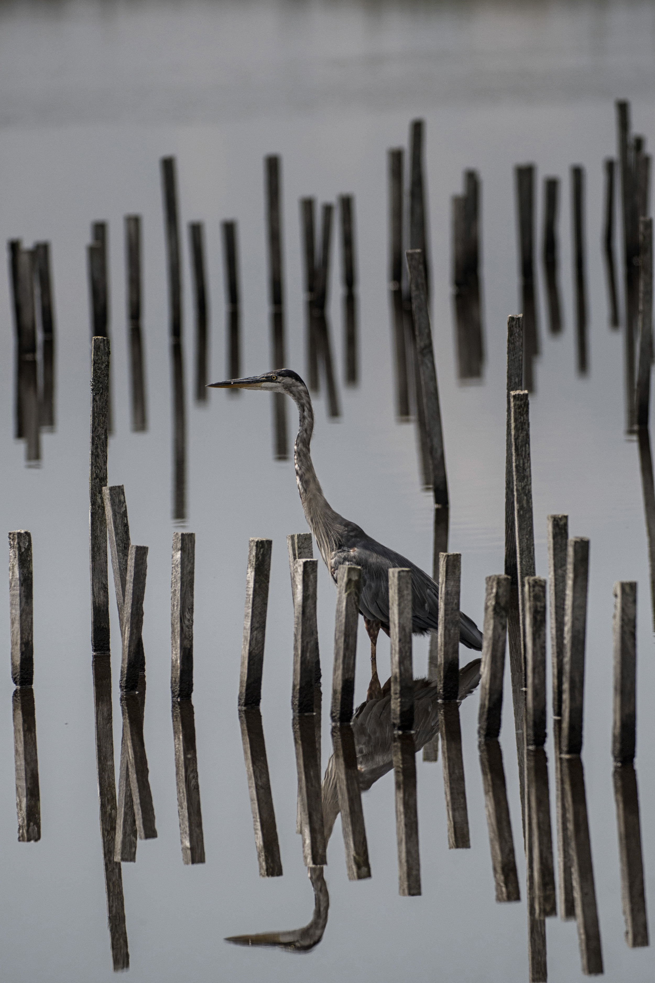 Great Blue Heron blending in