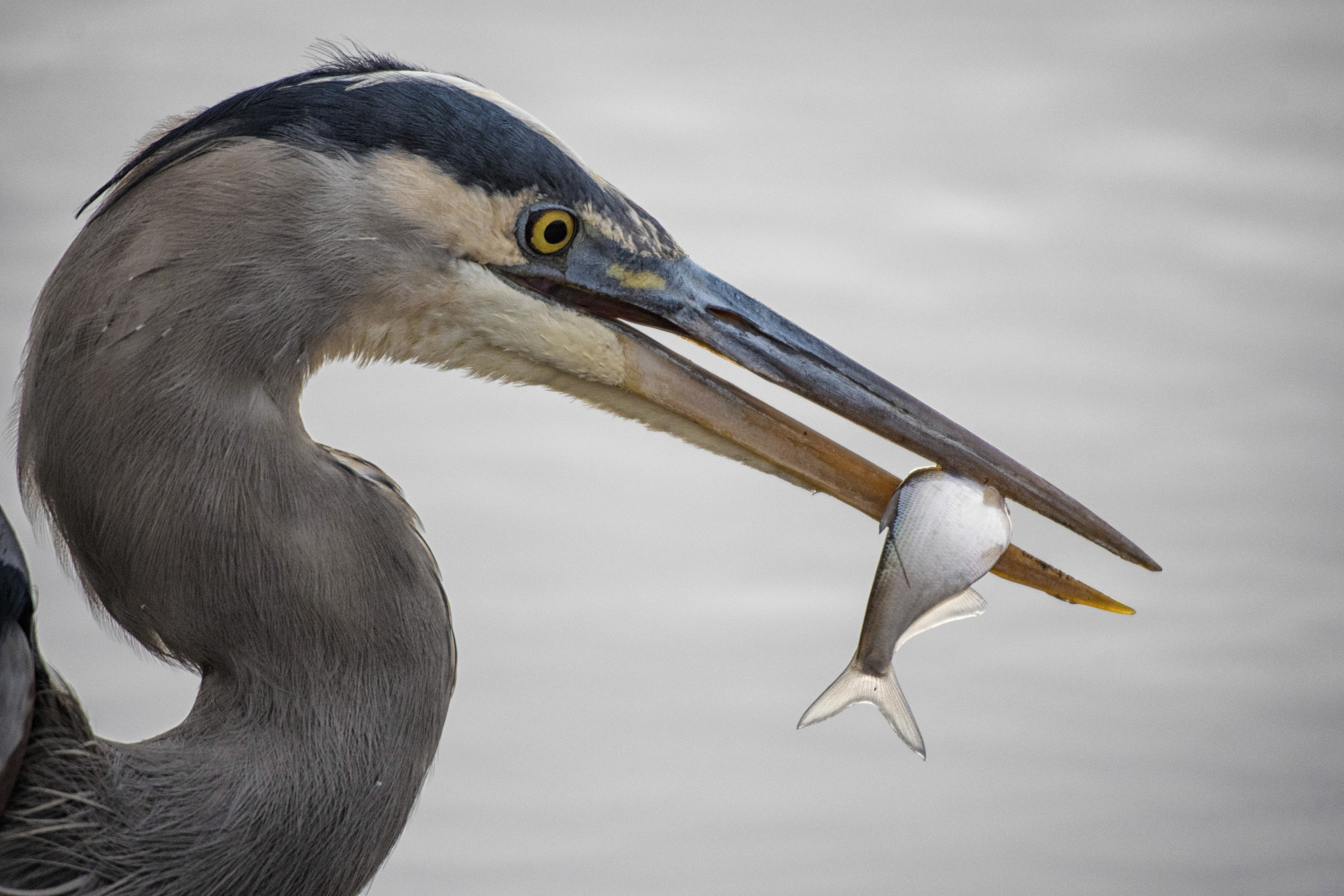 Great blue heron with meal