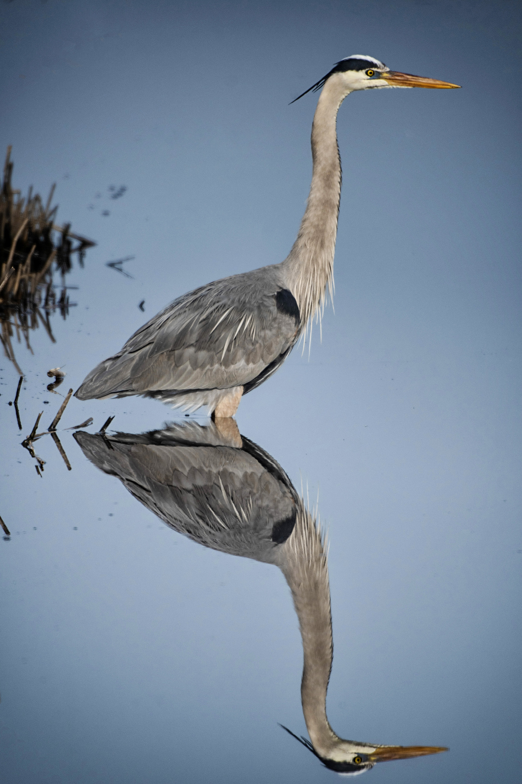 Great blue heron reflection at Bombay Hook NWR