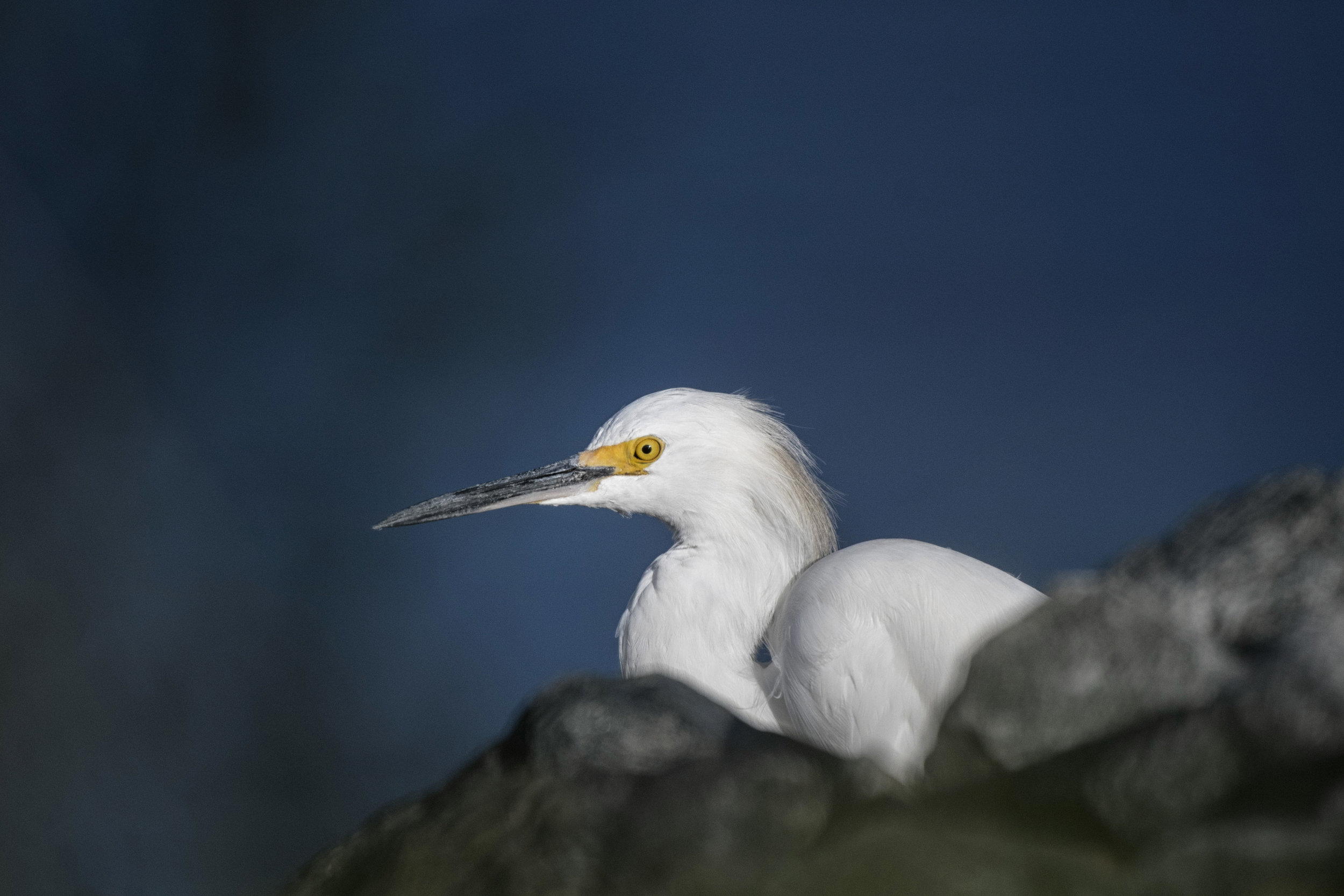 snowy egret at Bombay Hook NWR