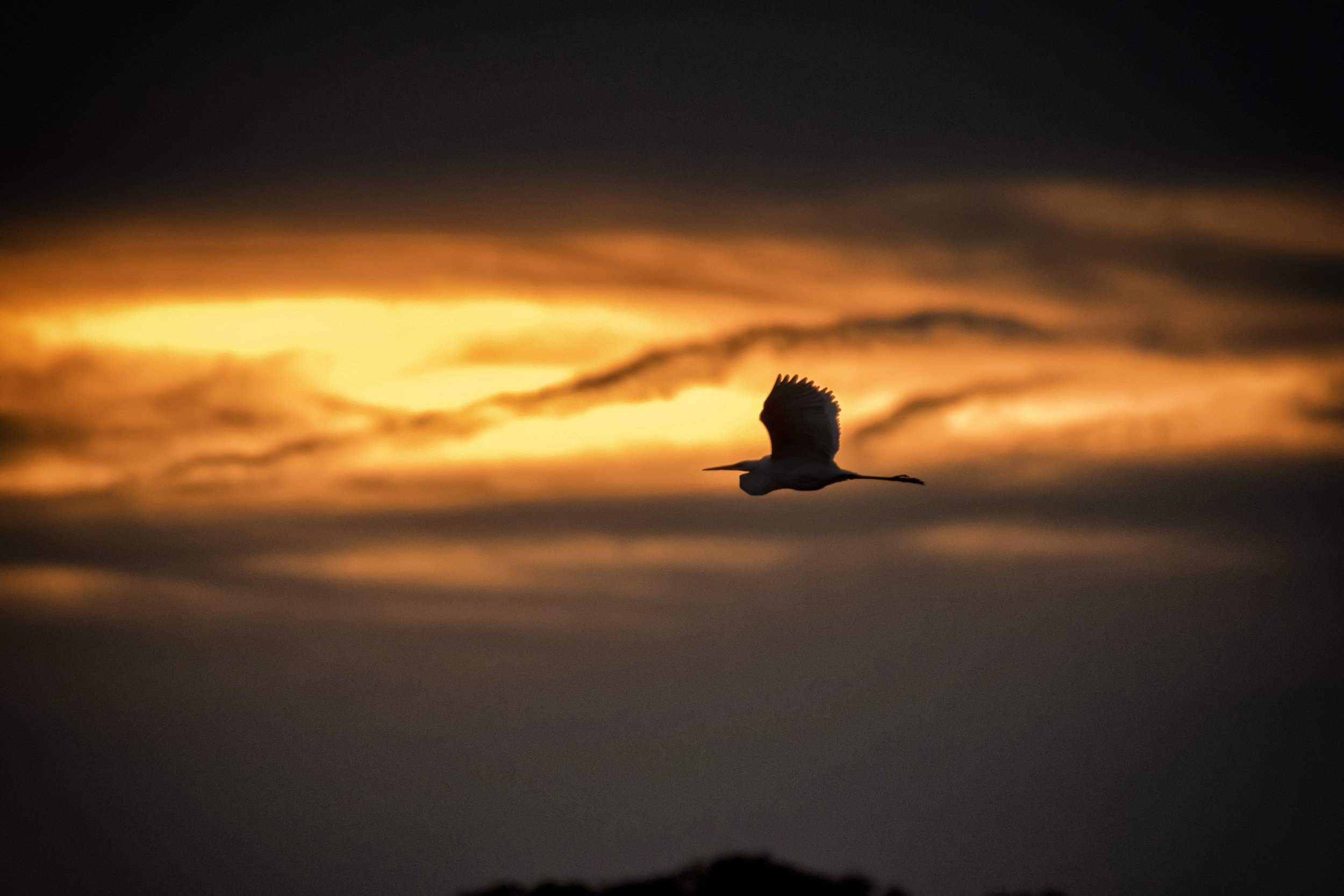 Great blue heron in sunset at Bombay Hook NWR
