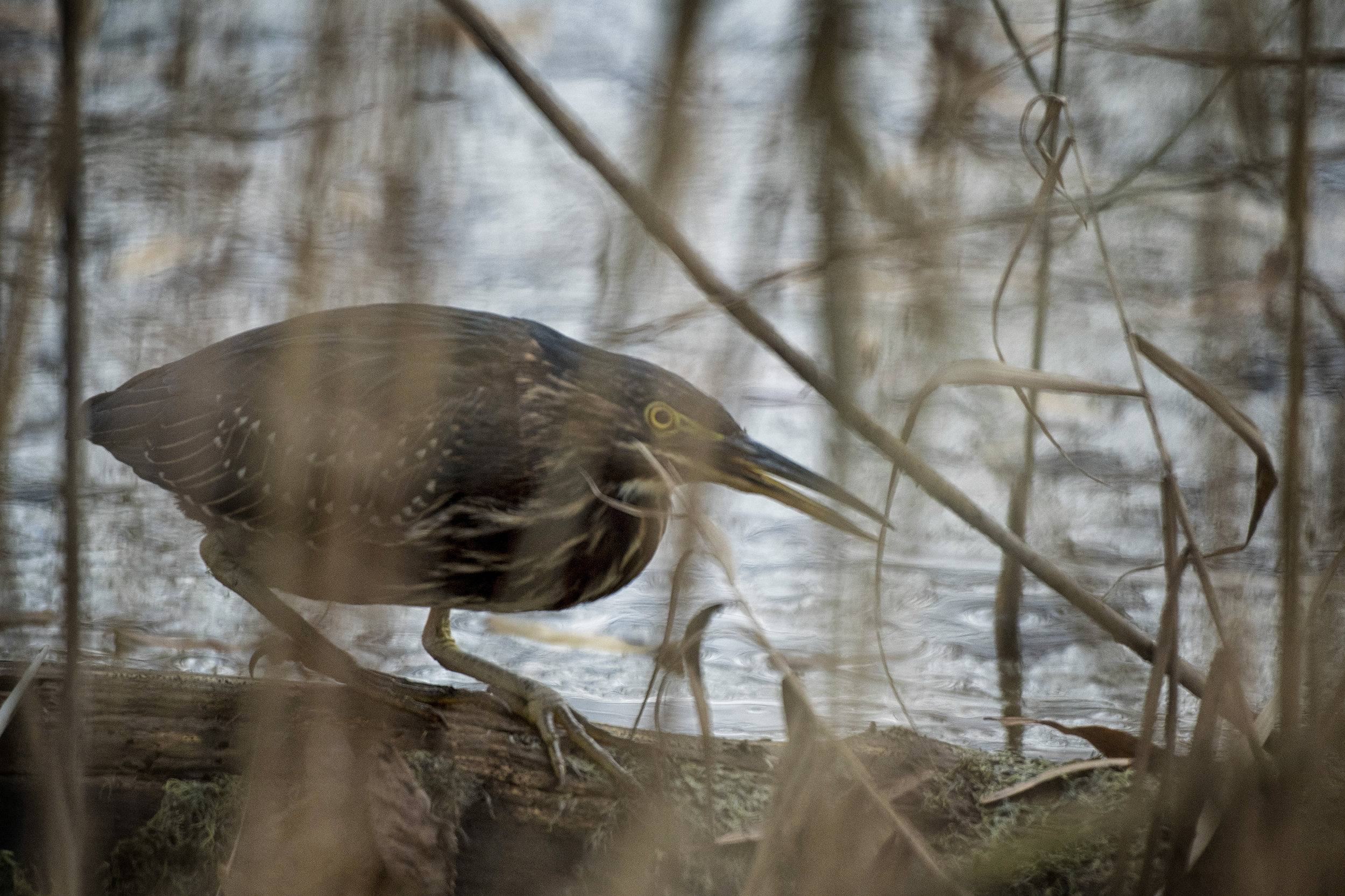 Green heron at Bombay Hook NWR