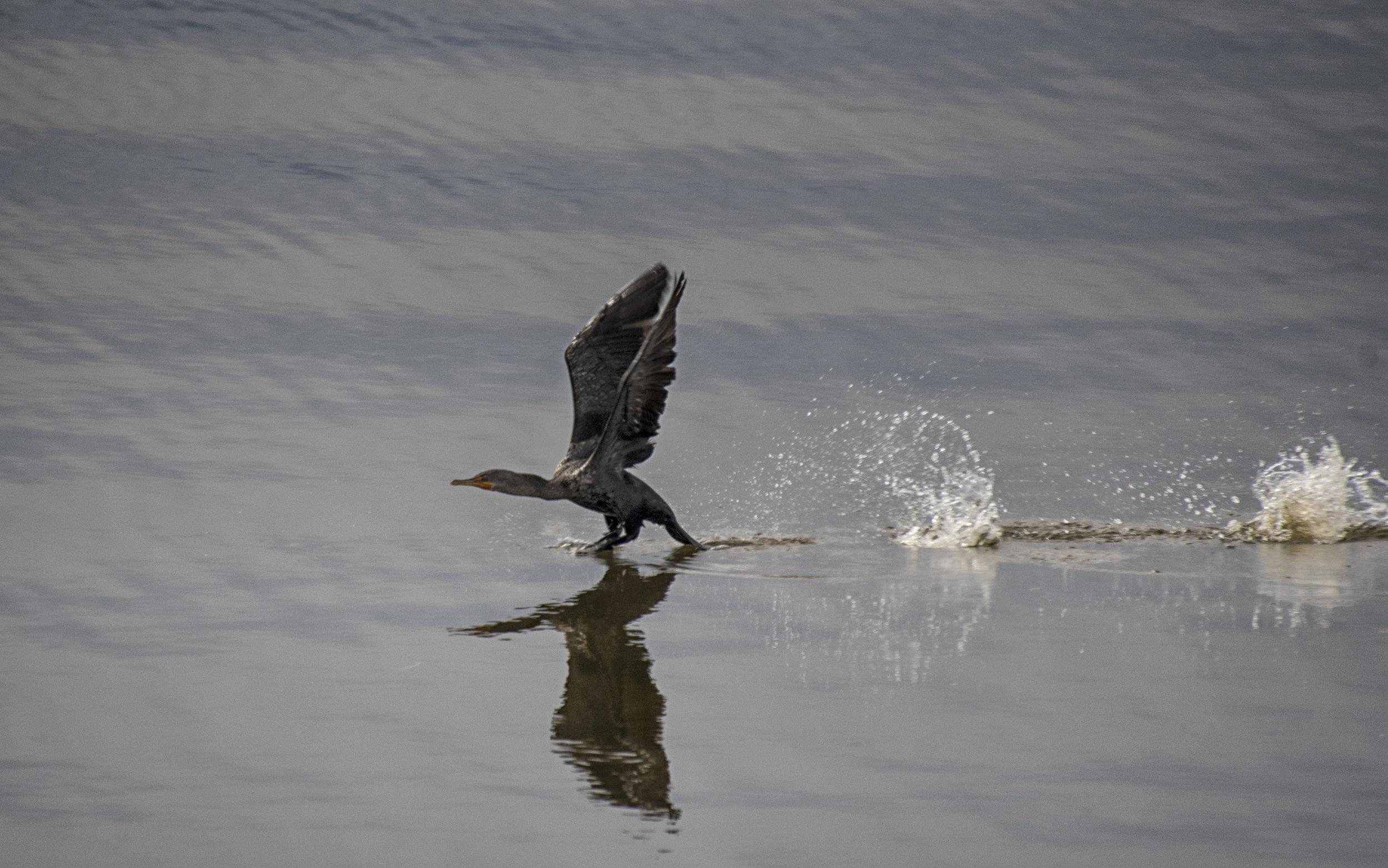 cormorant, OBX