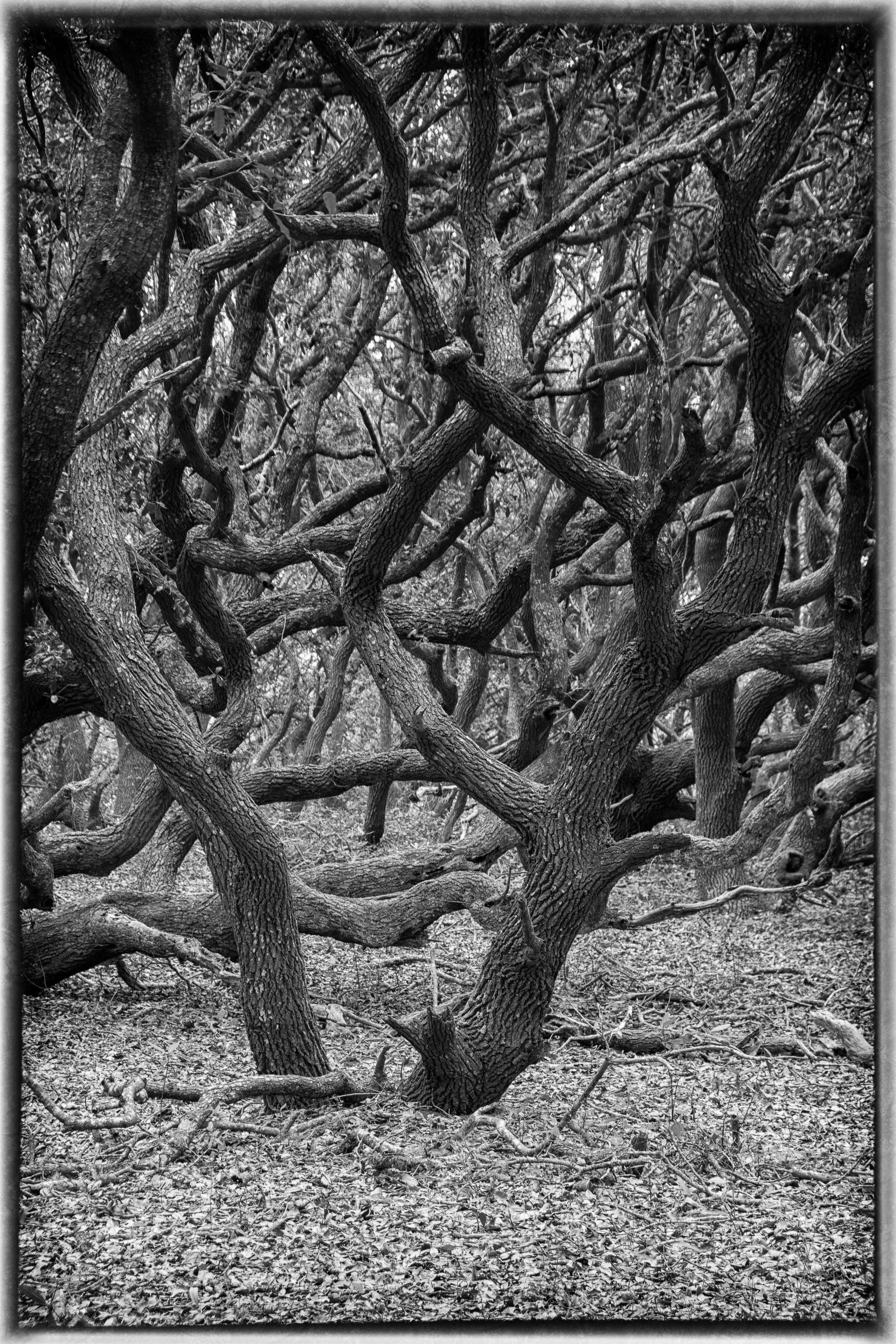 live oaks, OBX