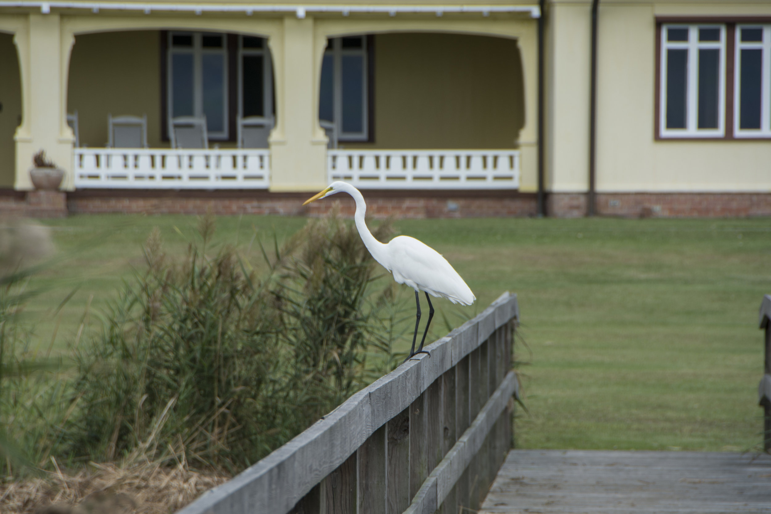 great white egret, Whalehead, OBX