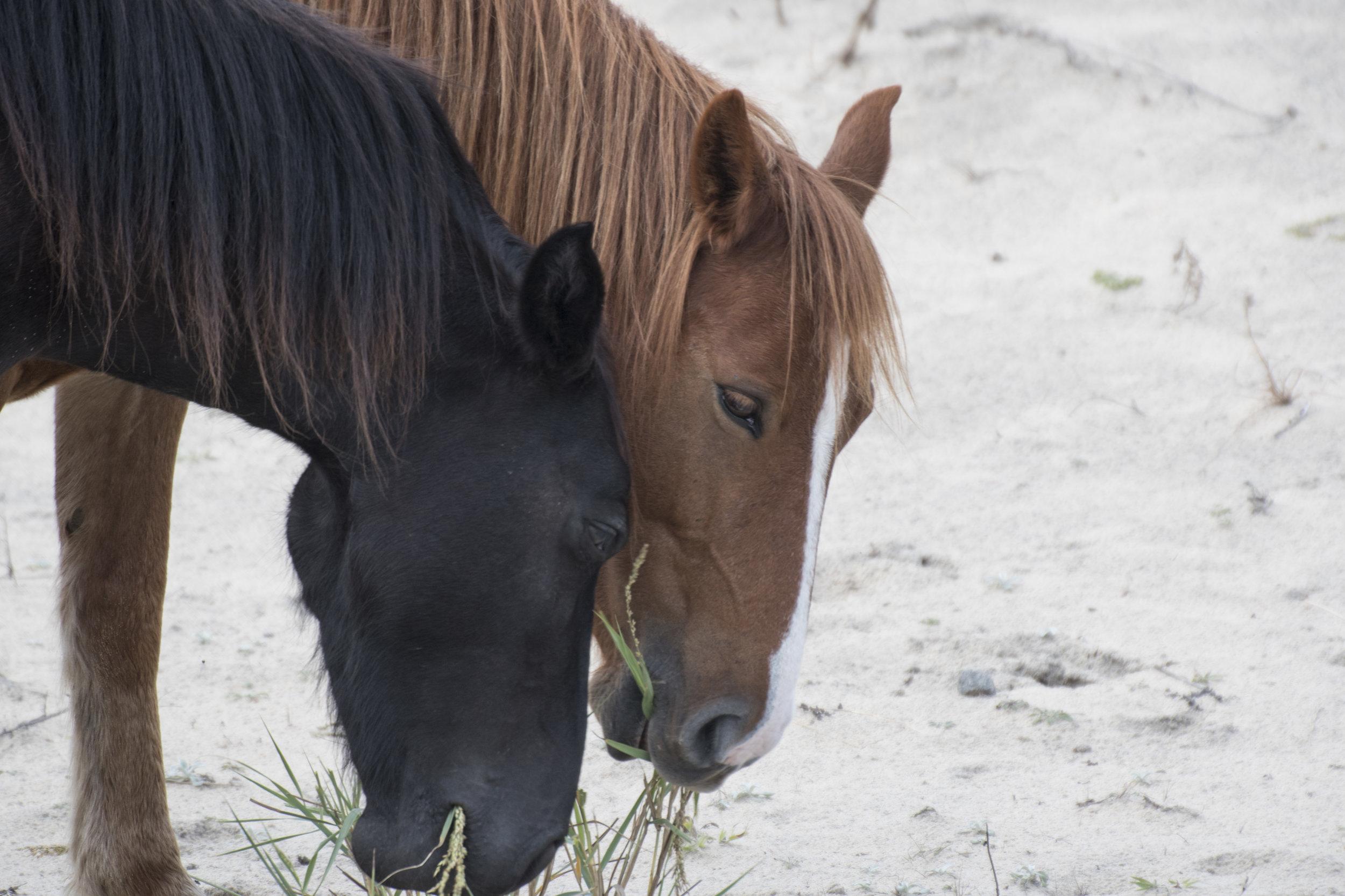 wild ponies, OBX