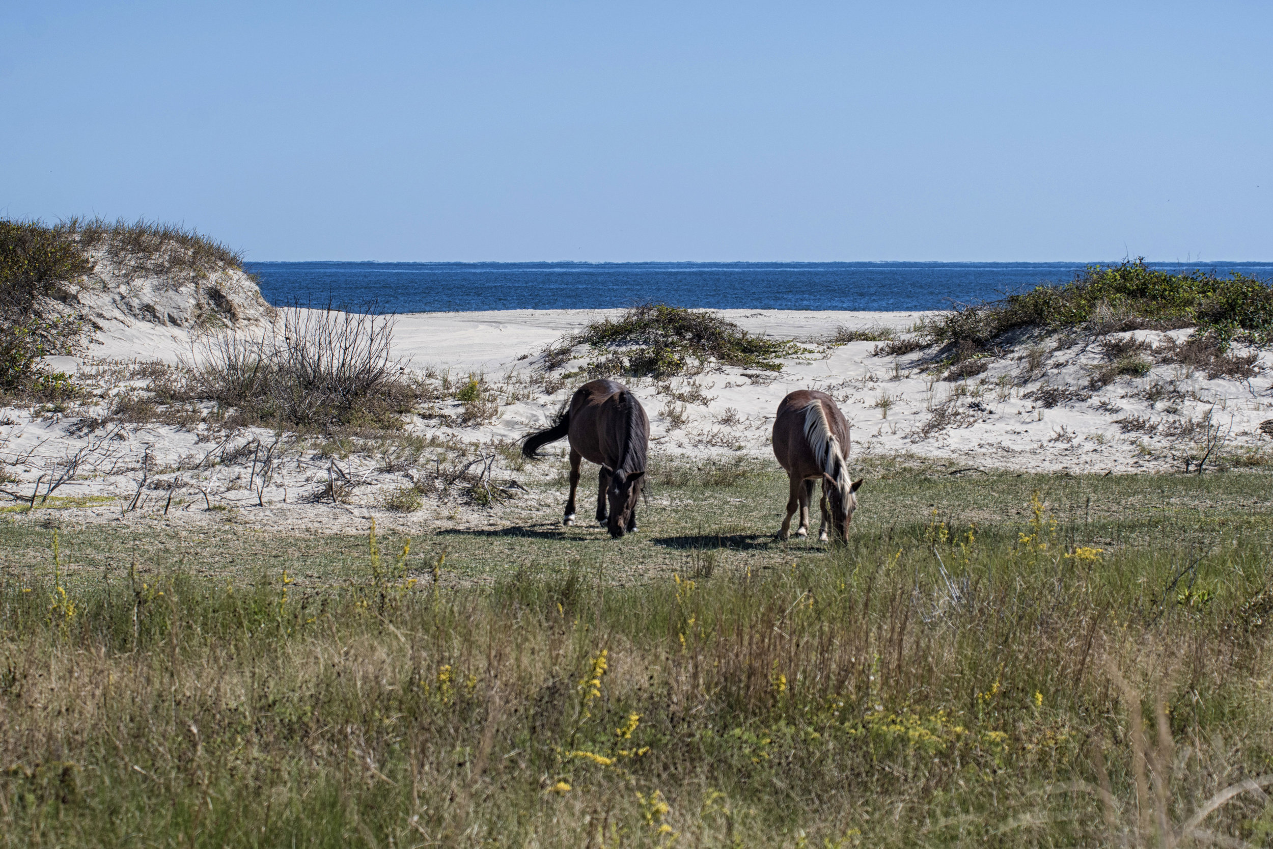 wild ponies on 4WD beach, OBX