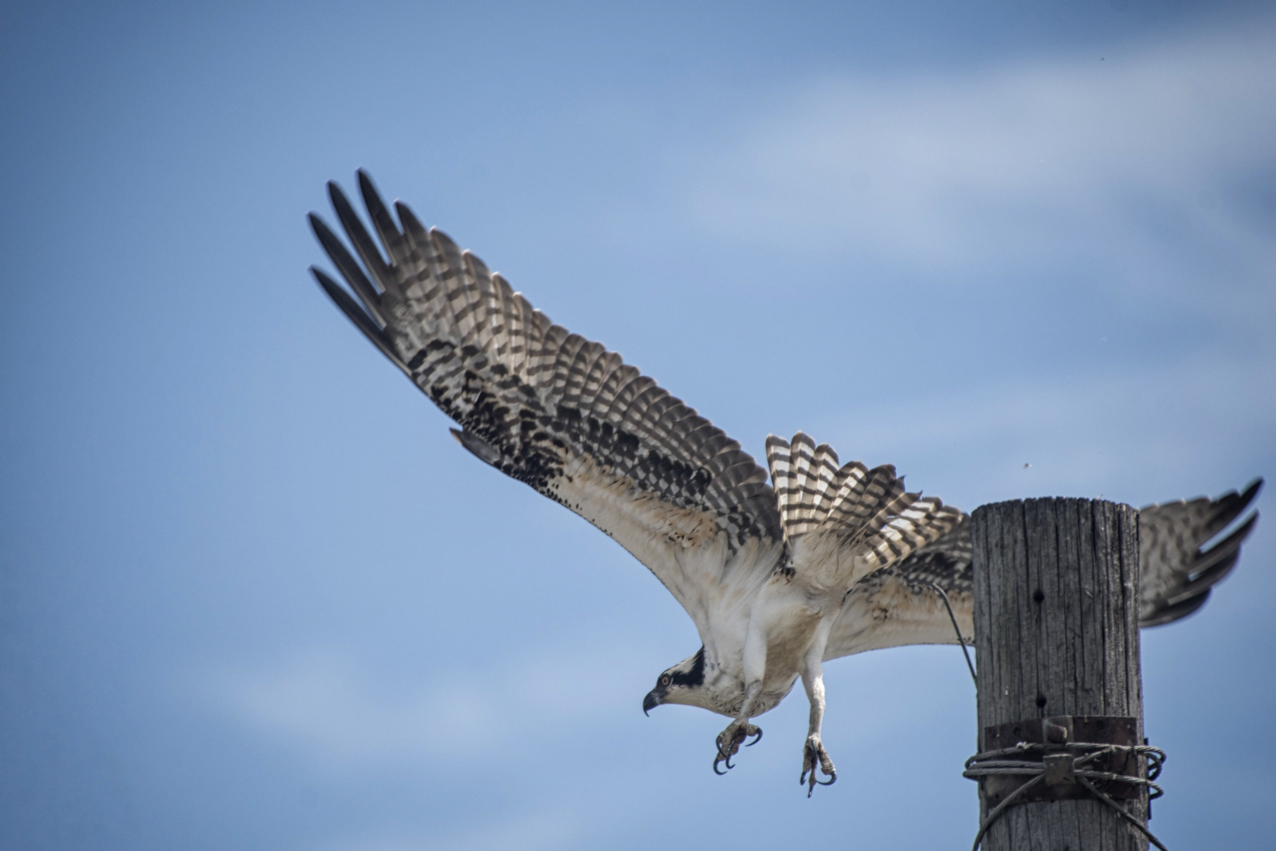 Osprey, Port Mahon, De.