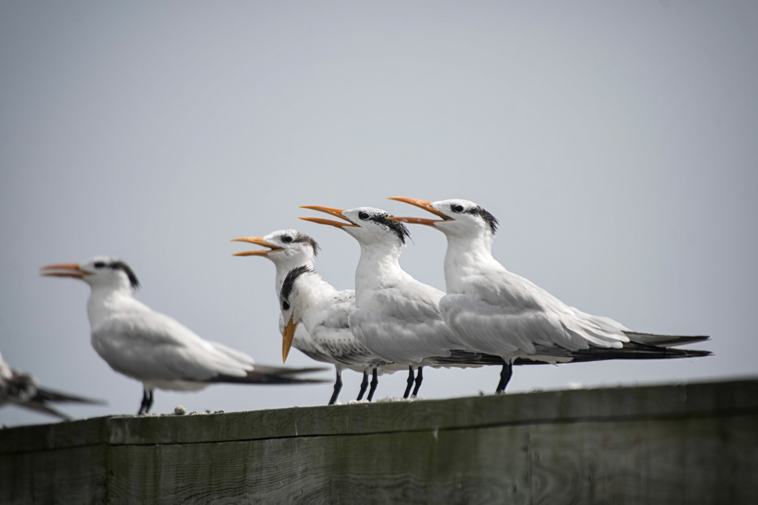 Royal Terns, Port Mahon, De.
