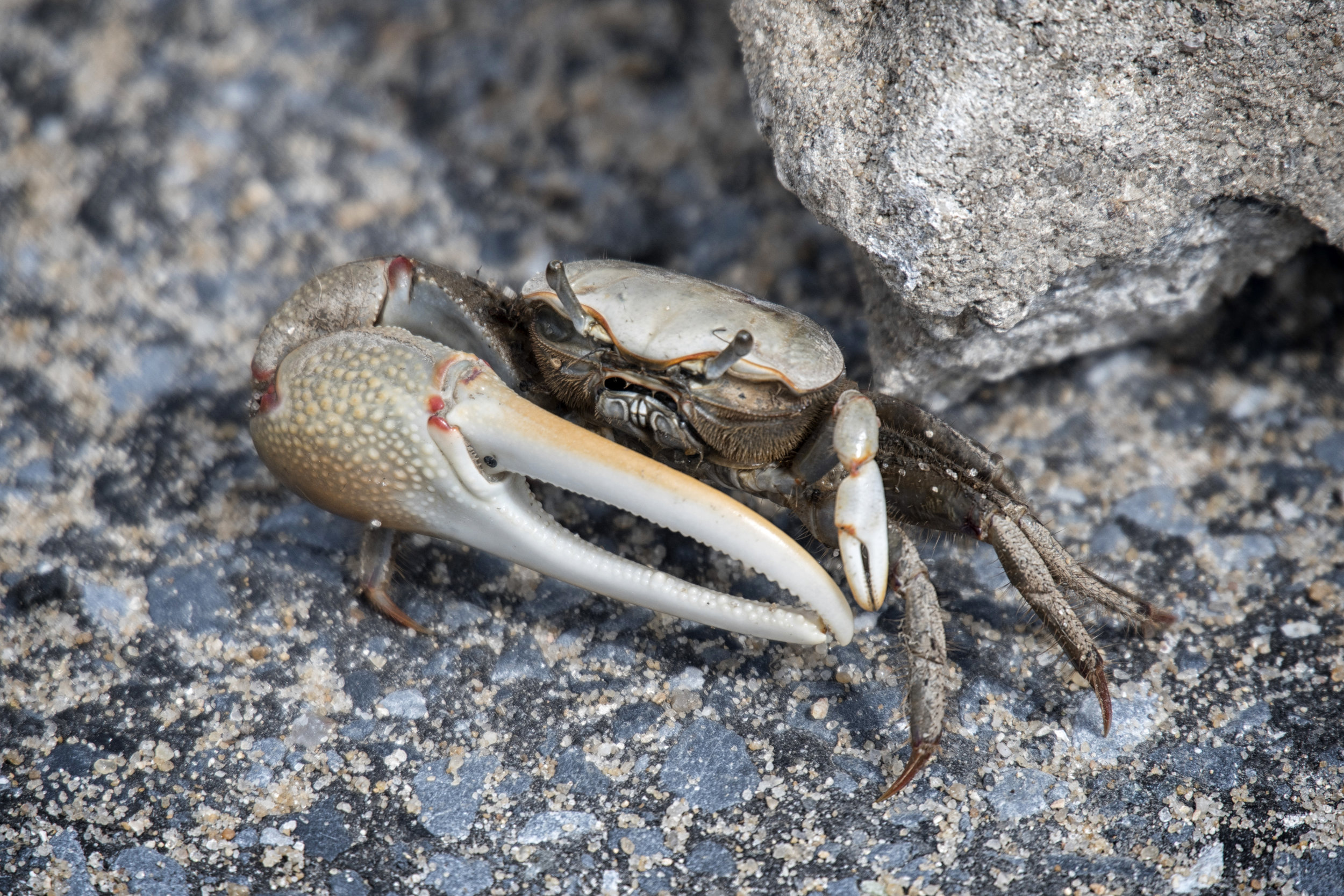 Fiddler crab, Port Mahon, De.