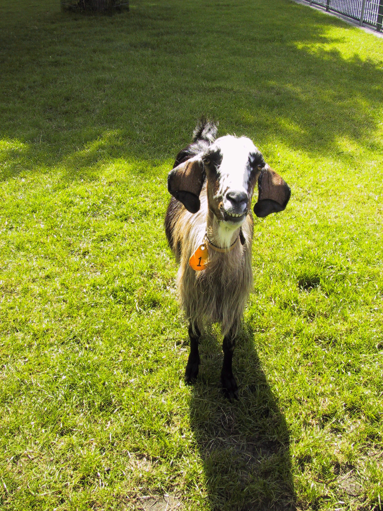 This is a picture of a goat. I like goats.