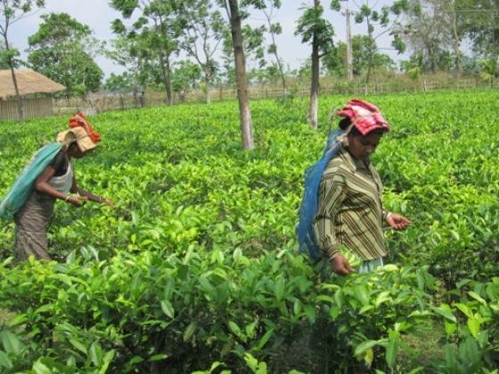 Workers in the field. Kanoka Tea Estate, Assam, India