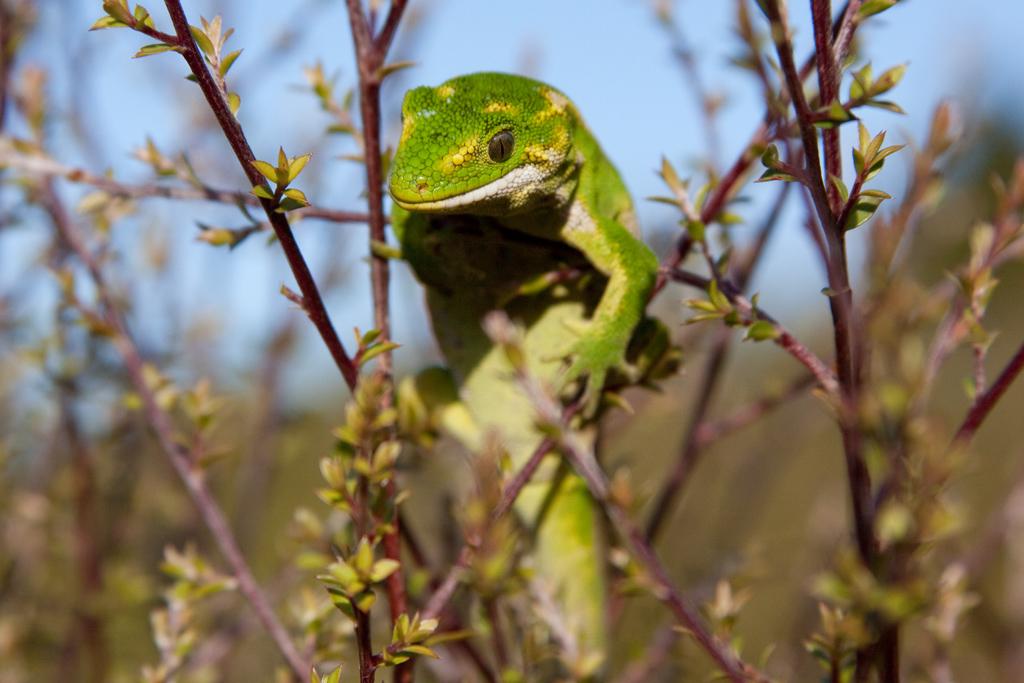 Jewelled gecko, Orokonui4 copy.jpg