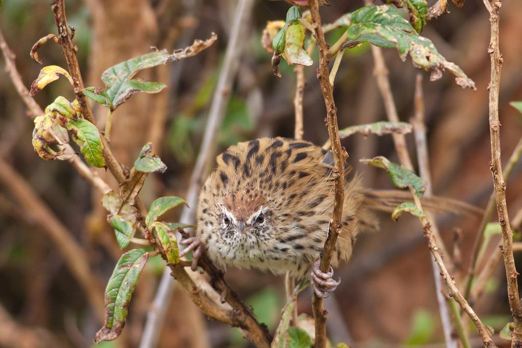 Fernbird, Orokonui1(s).jpg
