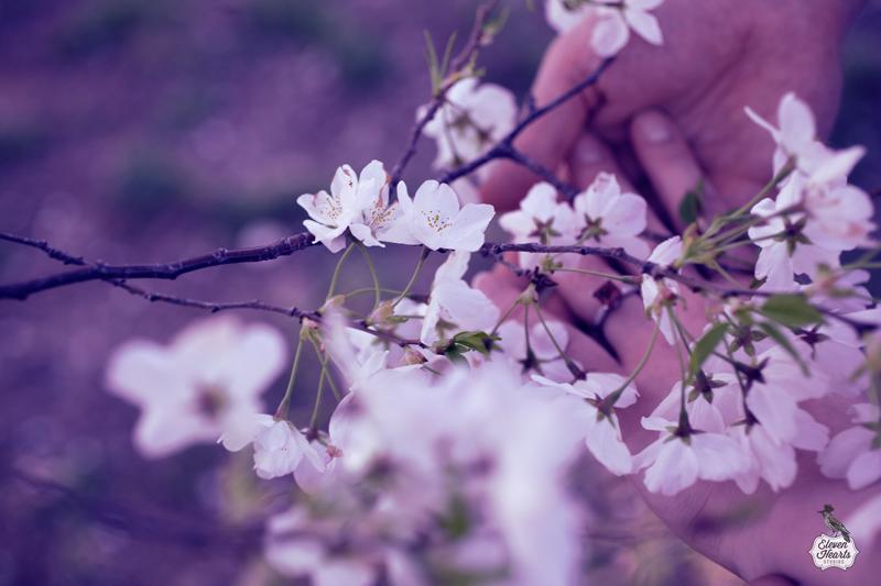 cherry blossom in washington dc