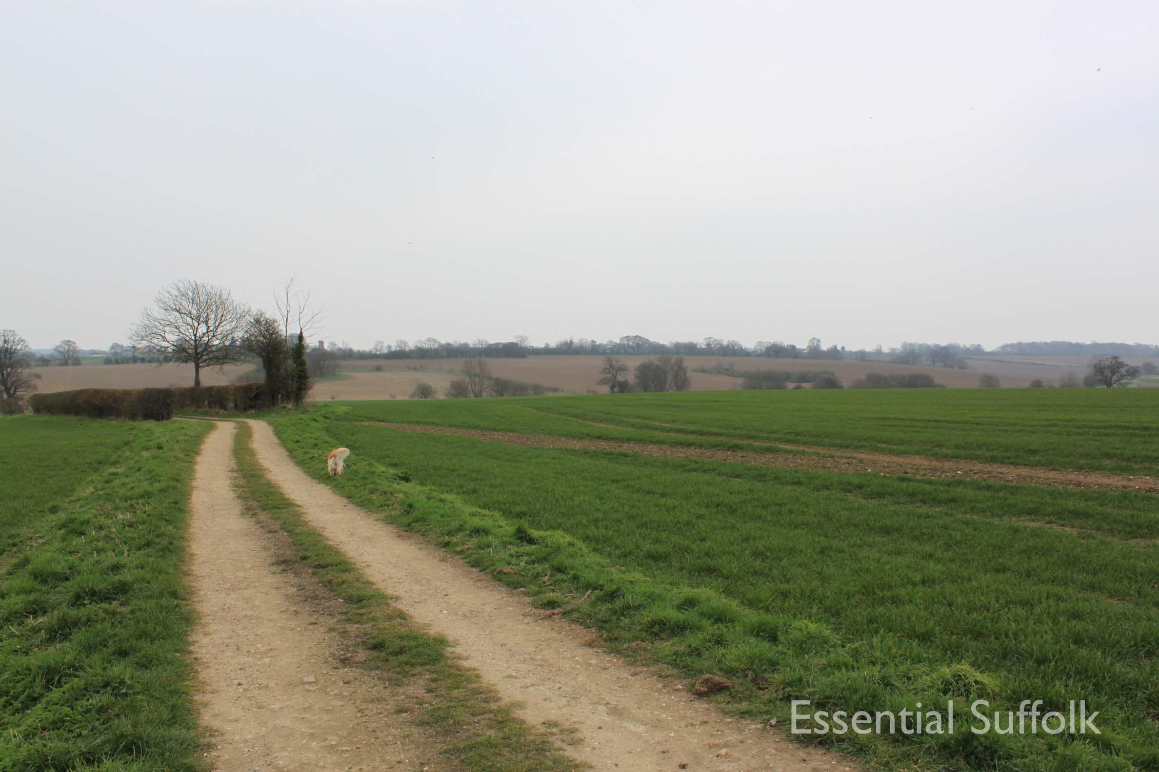 Cretingham dog walk06.jpg