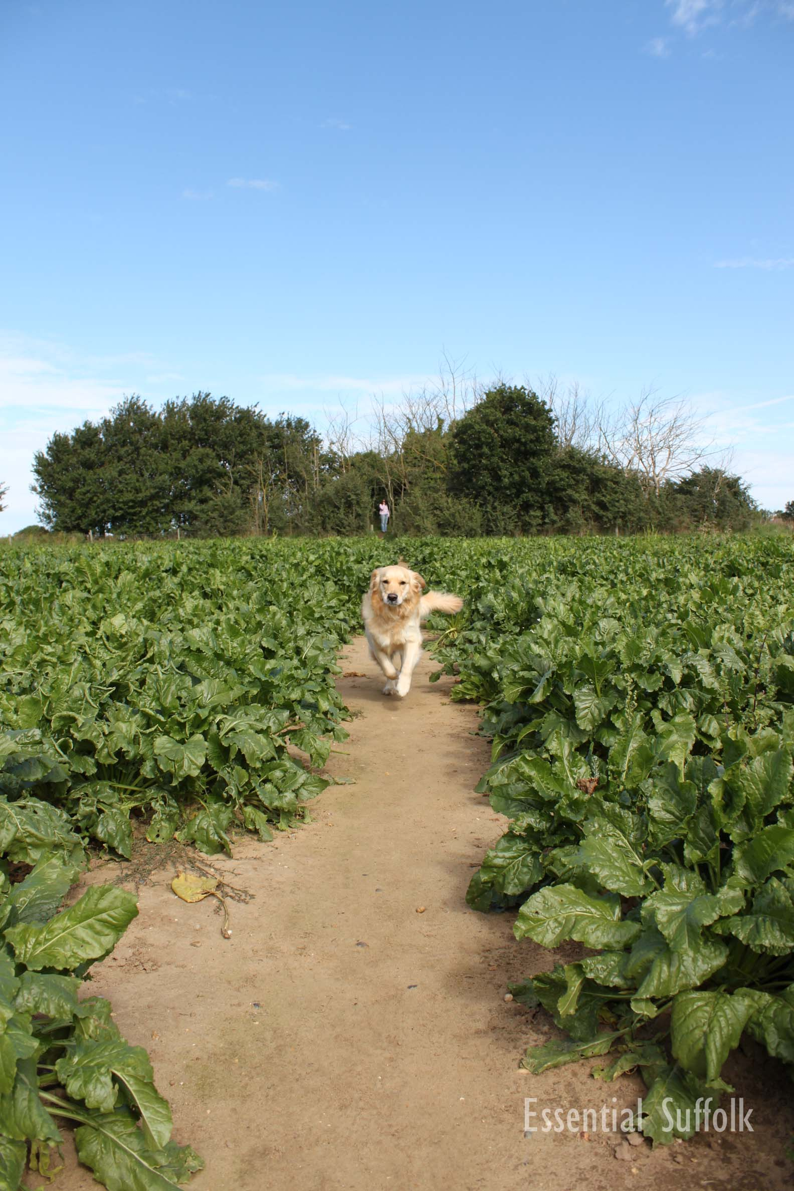 Newbourne Dog Walk 1 08.jpg